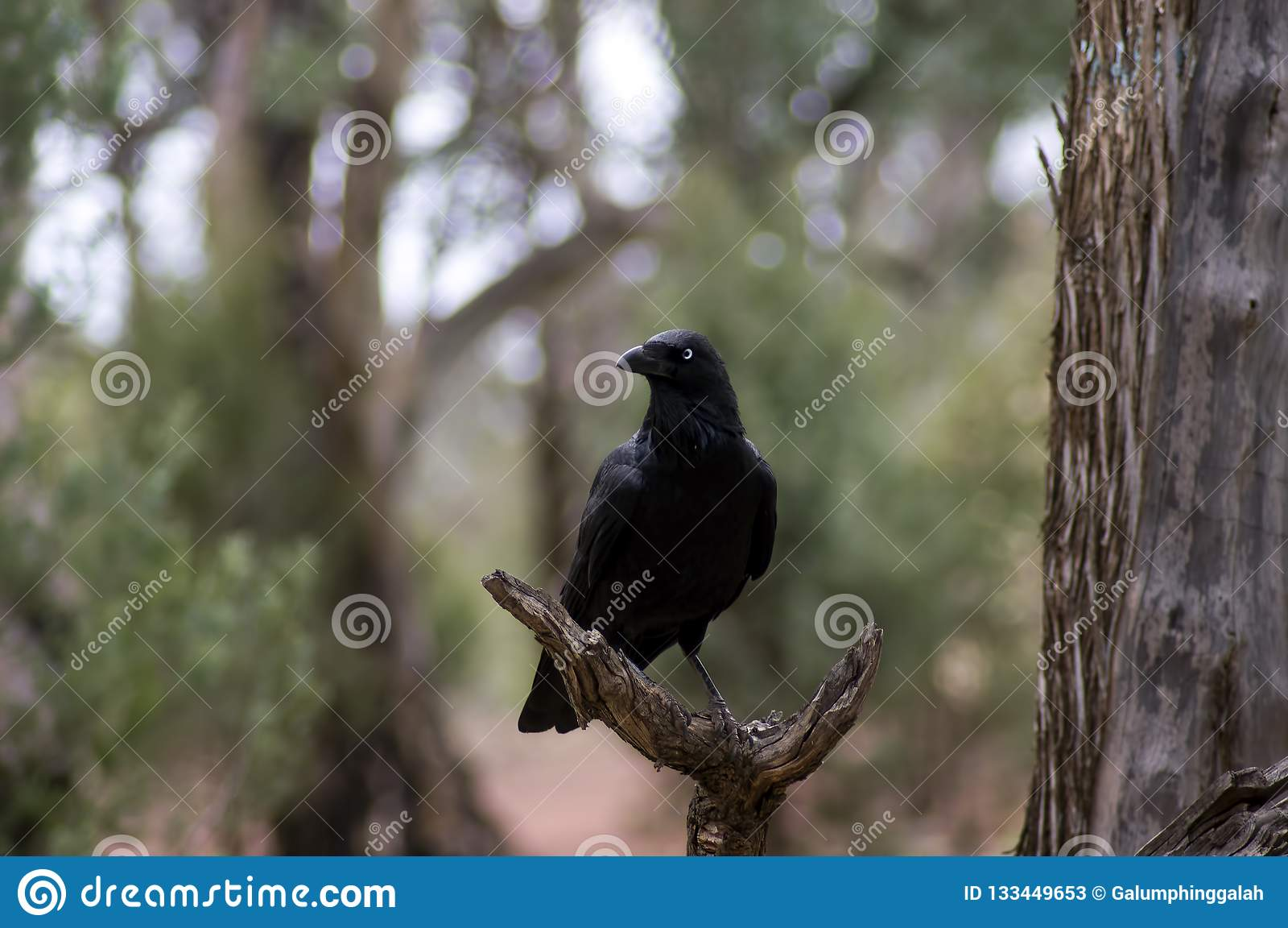 Kruk, Wilpena funt, Flinders pasma, Południowy Australia, Australia