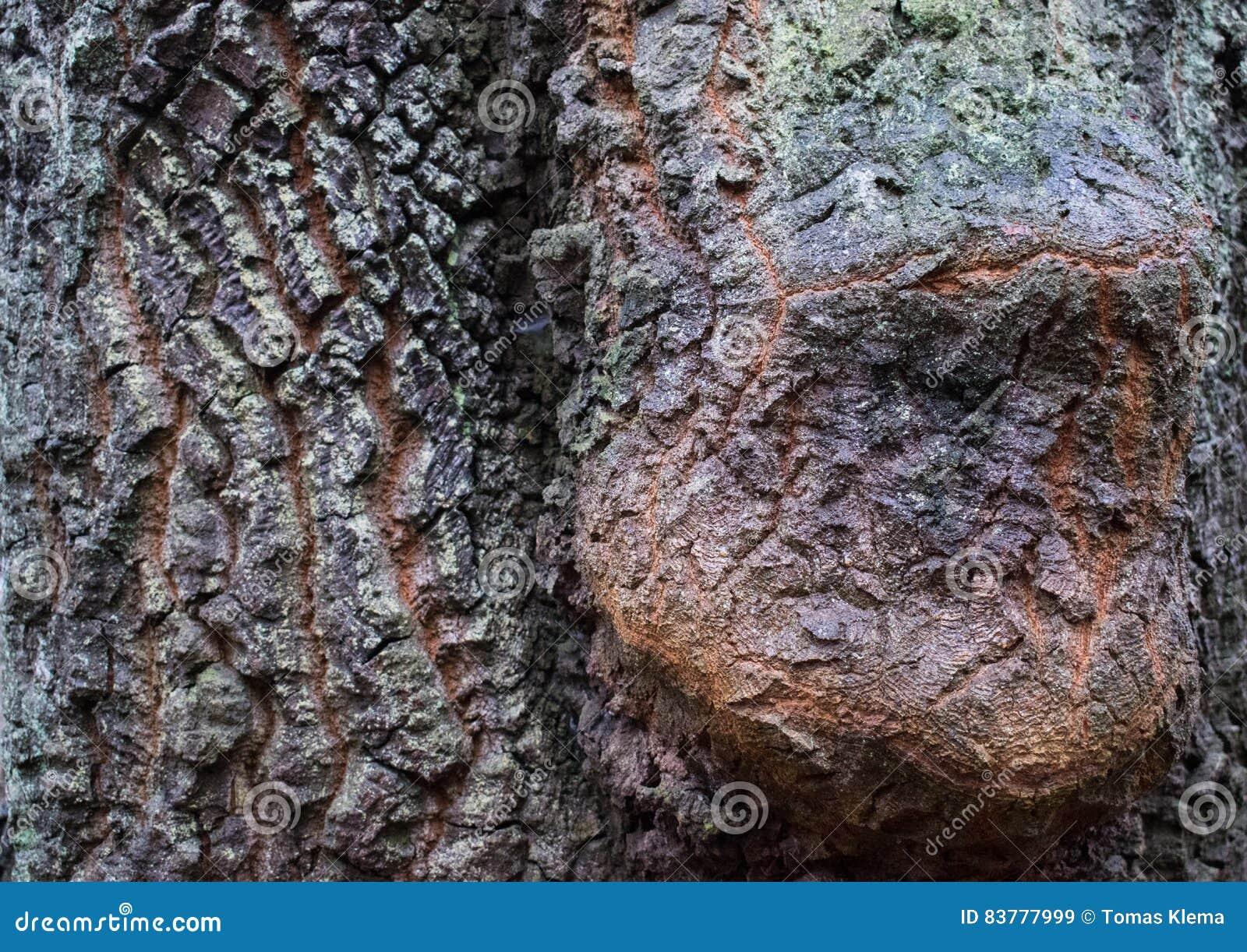 Kruste des Baums