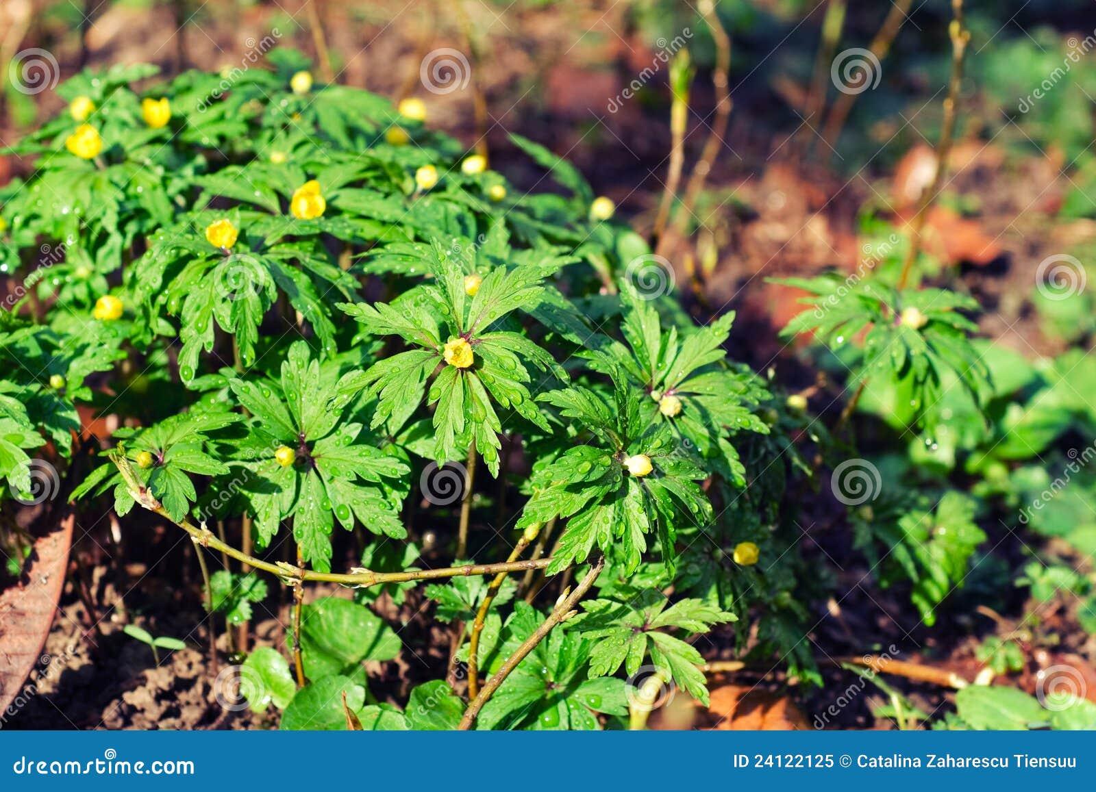 Krypa växter för buttercup