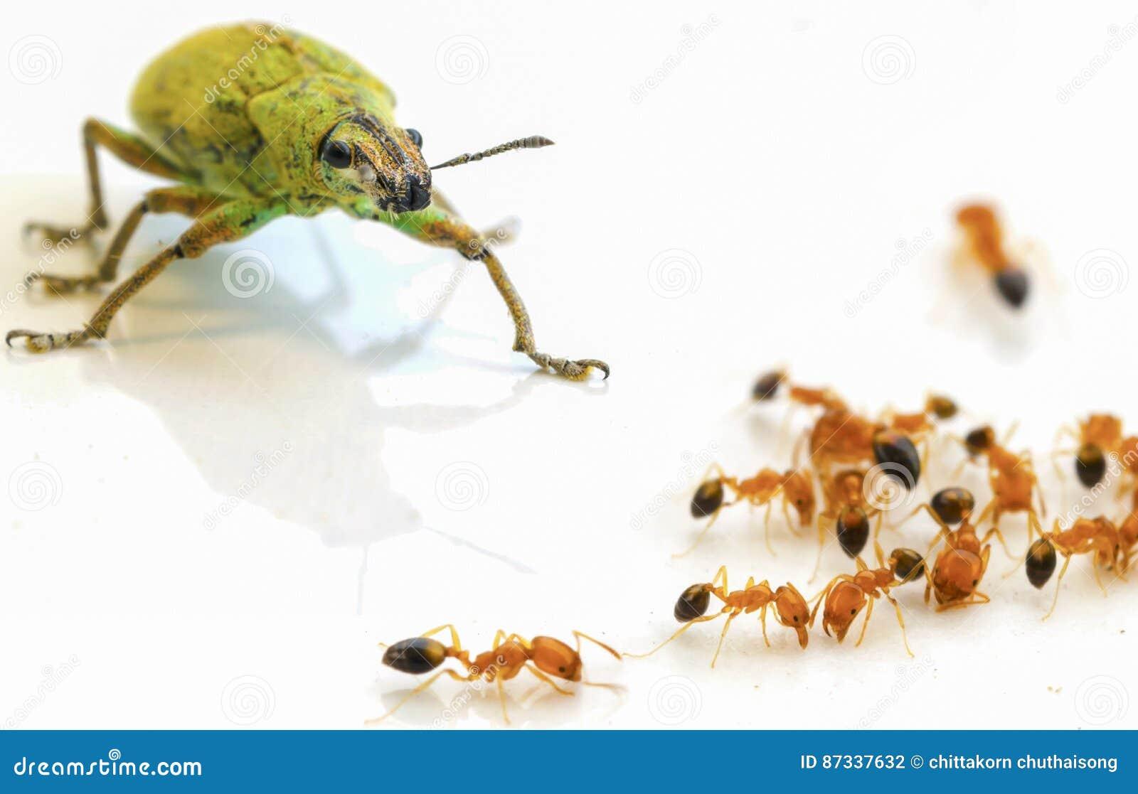 Krypgräsplan och myror på vit