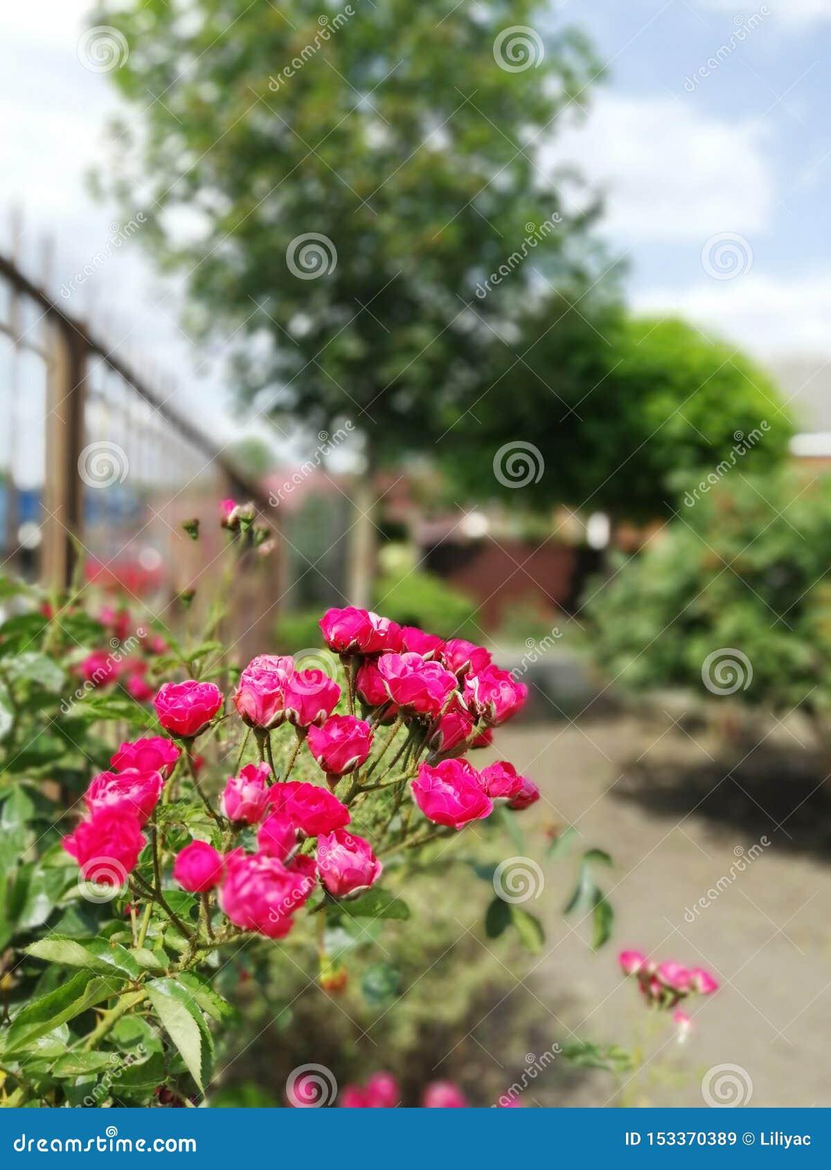 Krzak różowe róże w ogródzie