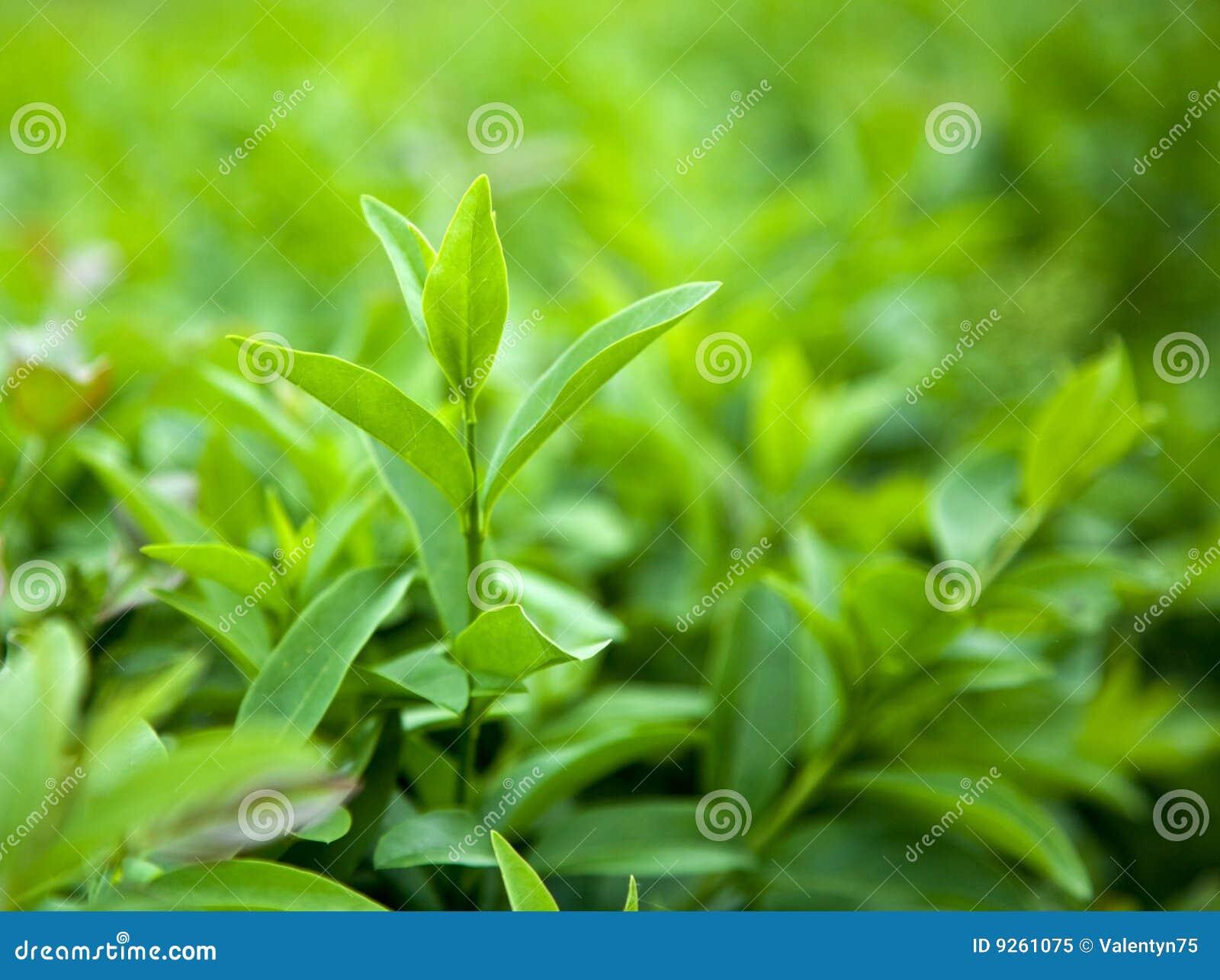 Krzak zielona herbata