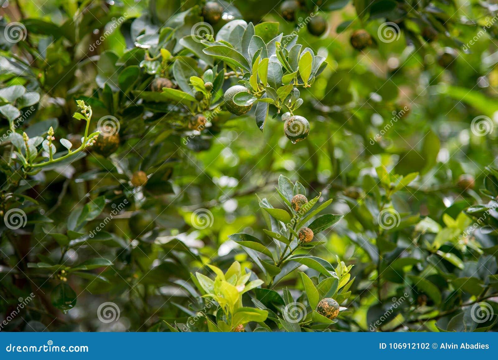 Książka botaniczne reprodukcji rocznik drzewa cytrynowe