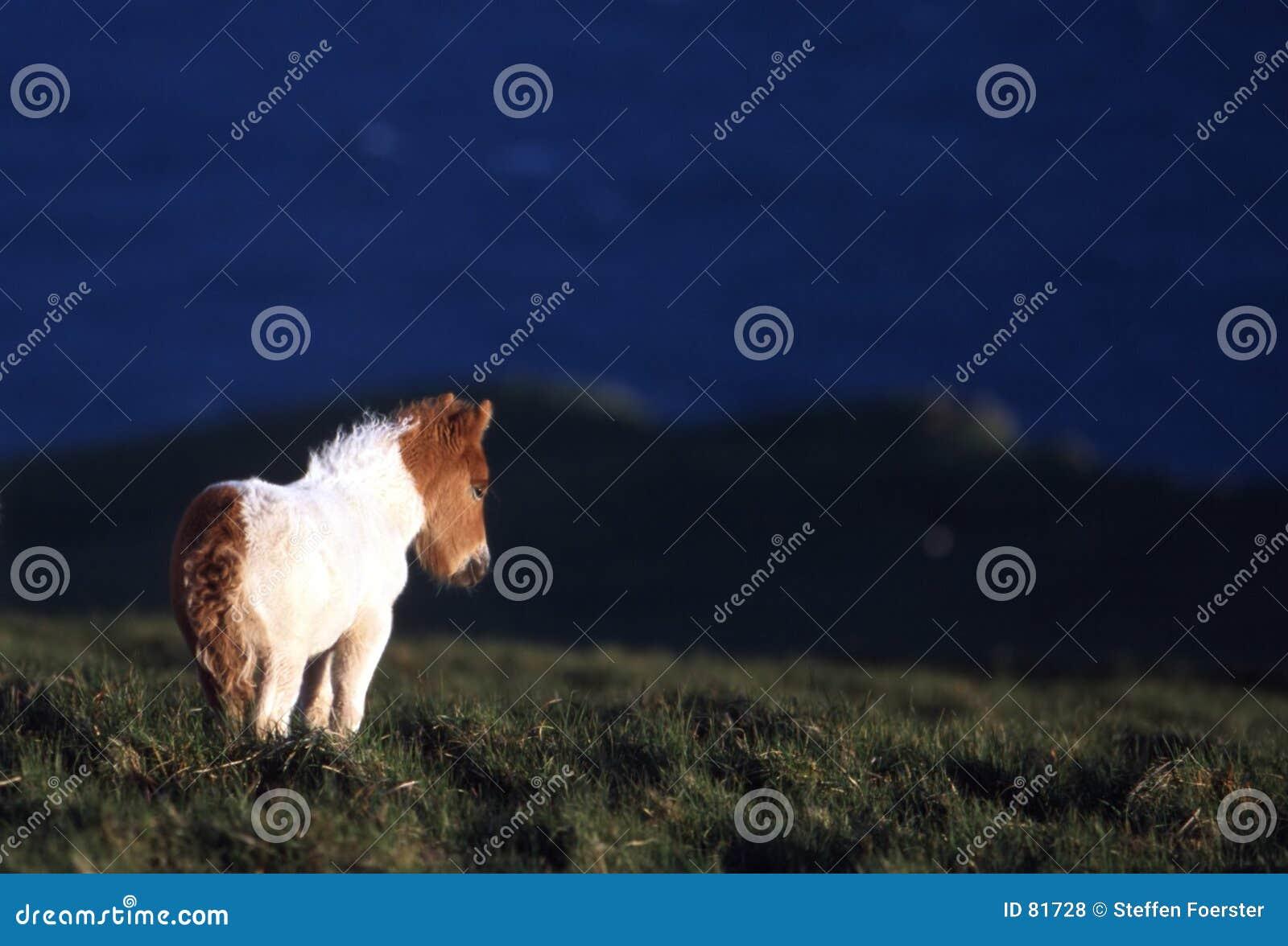 Kucyk Shetland
