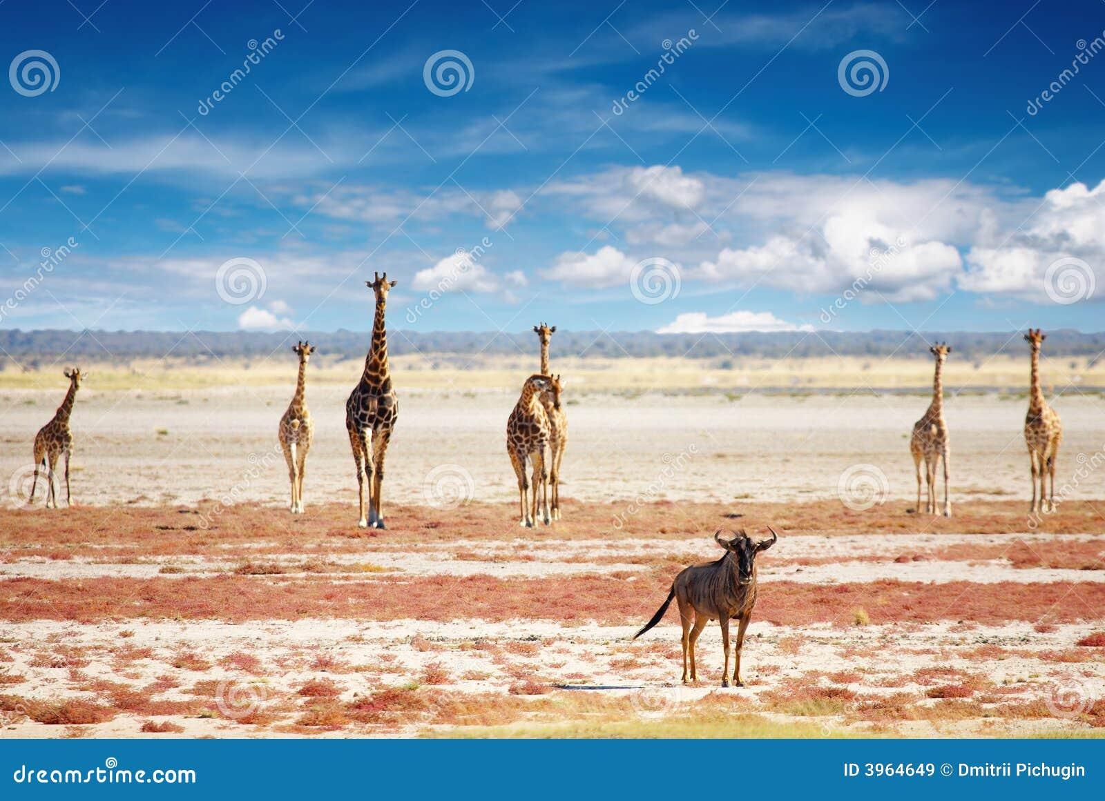 Kudde van giraffen