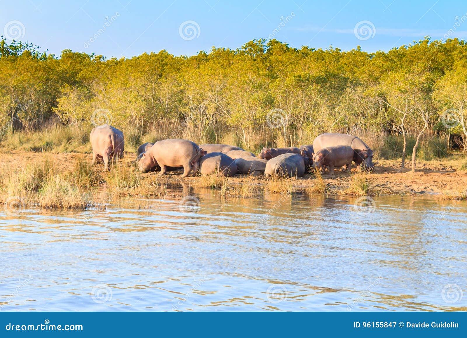 Kudde van hippos die, Isimangaliso-het Park van het Moerasland, Zuid-Afrika slapen