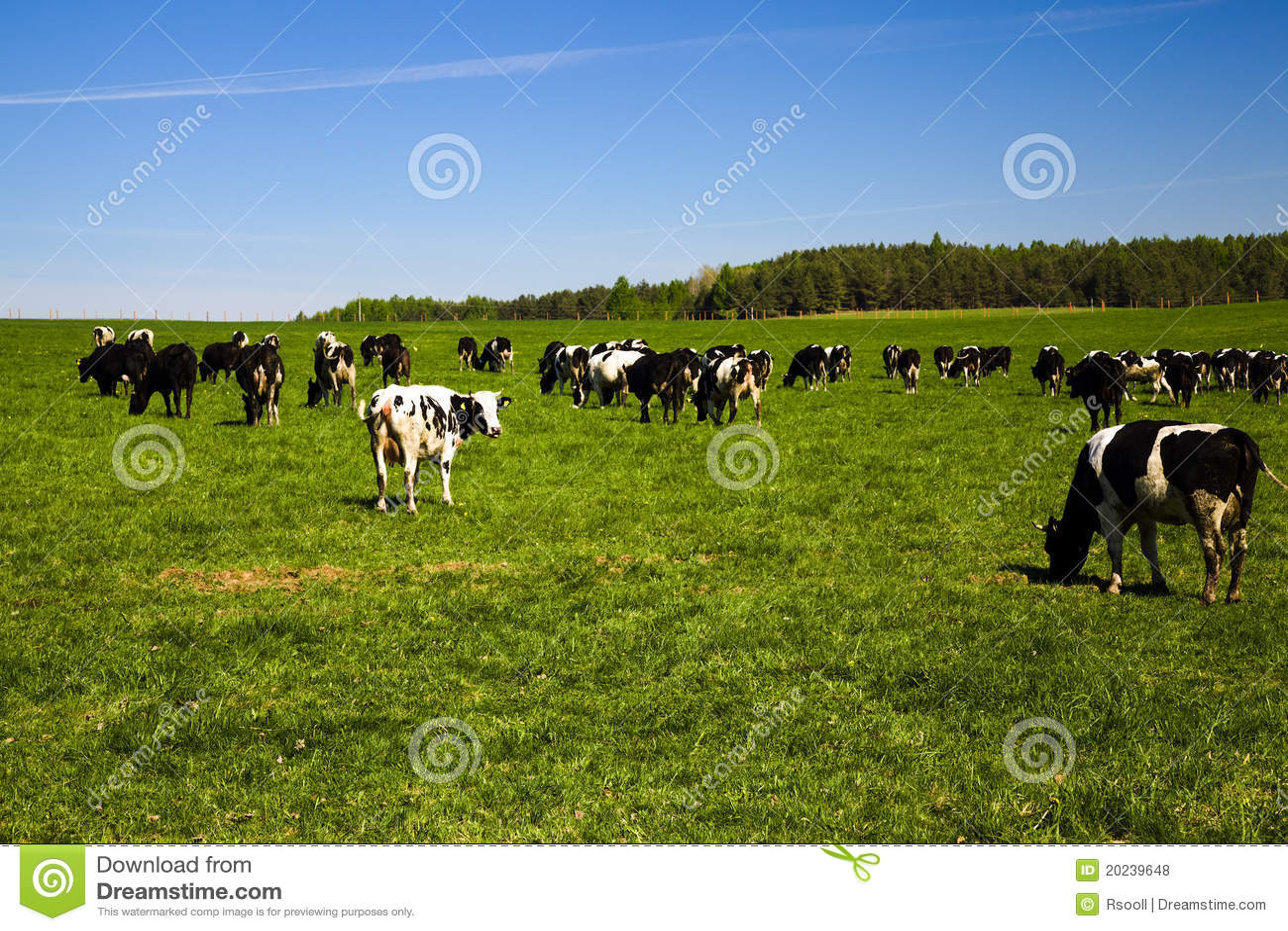 Kudde van koeien