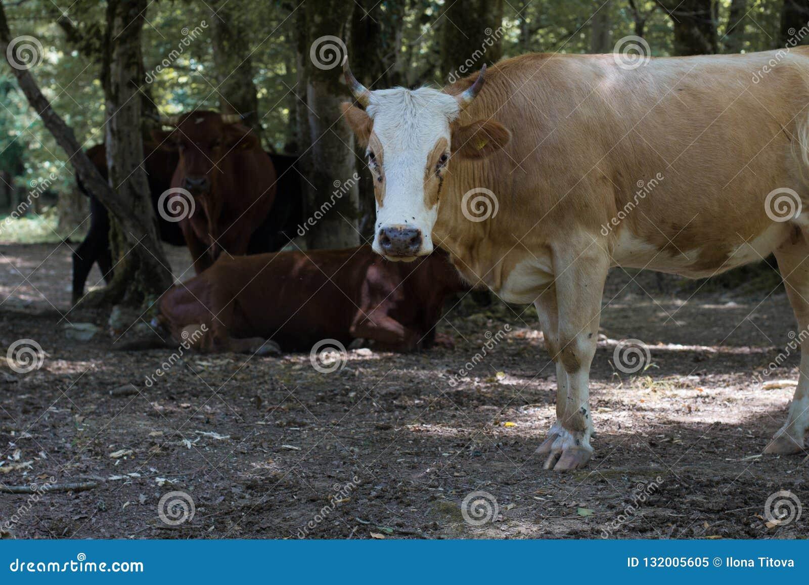 Kudde van koeien in het bos