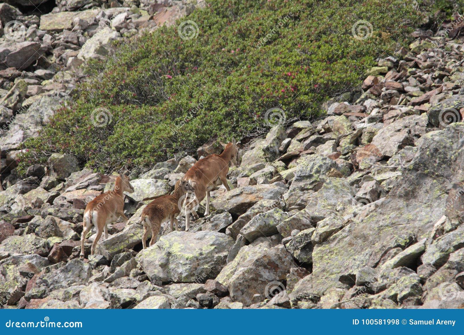 Kudde van Mouflons in de Pyreneeën