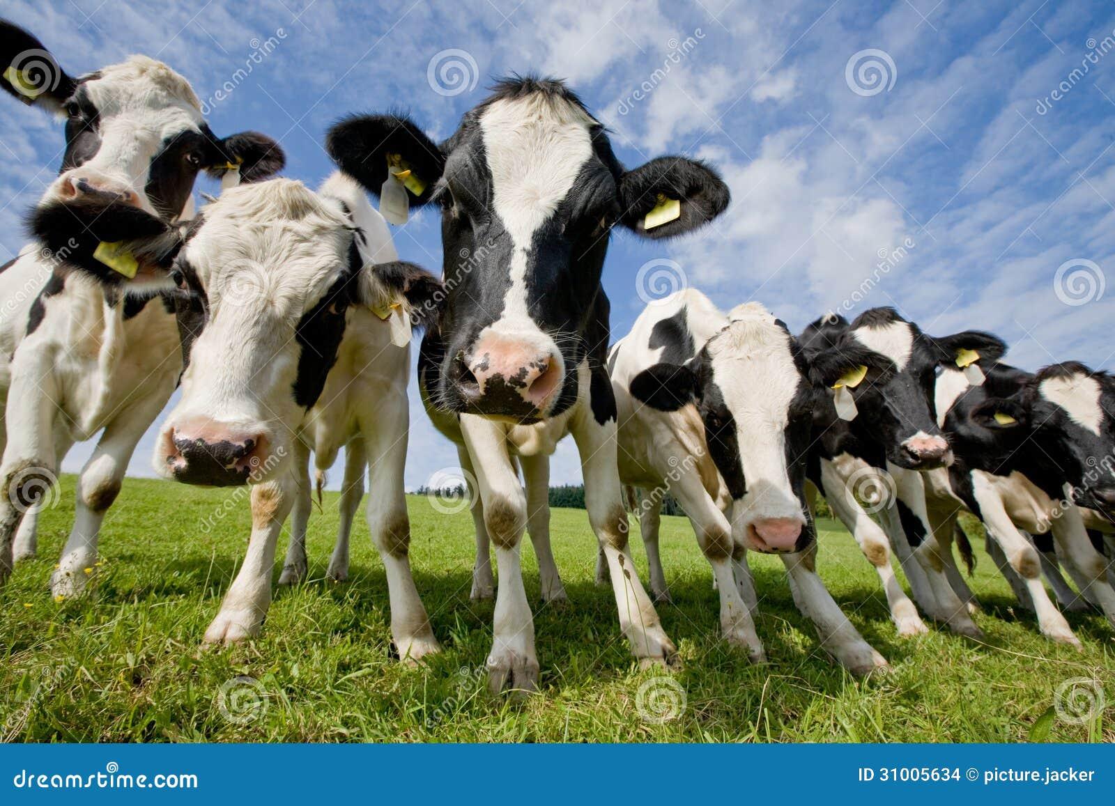 Kudde van nieuwsgierige koeien
