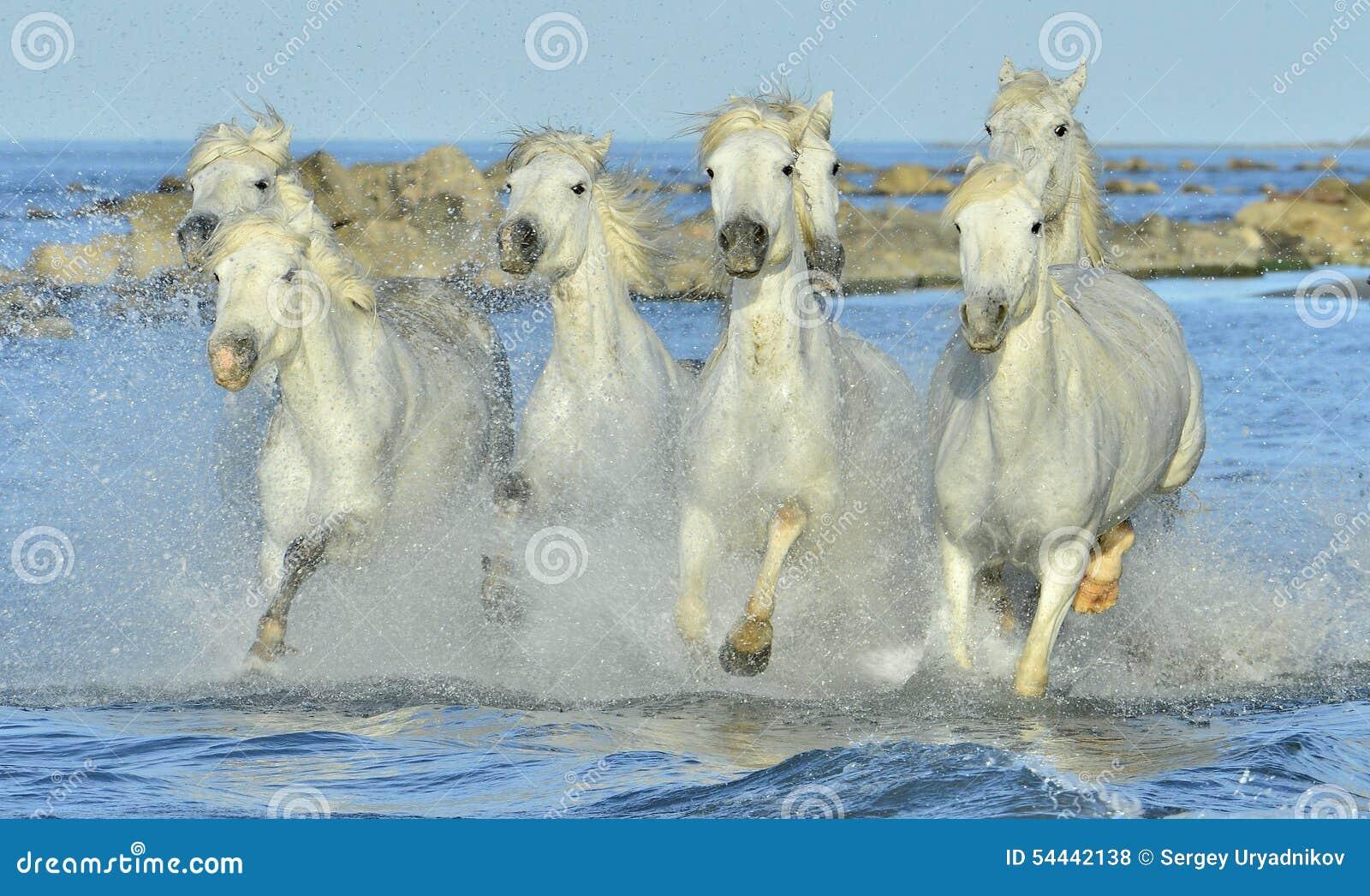Kudde van Witte Camargue-paarden die water doornemen