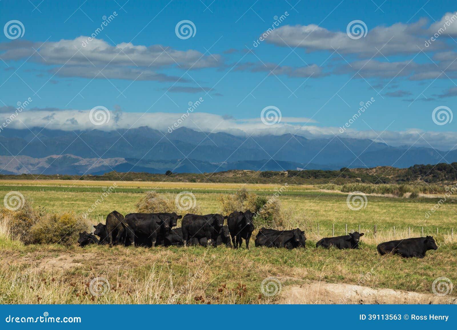 Kudde van Zwarte Stieren