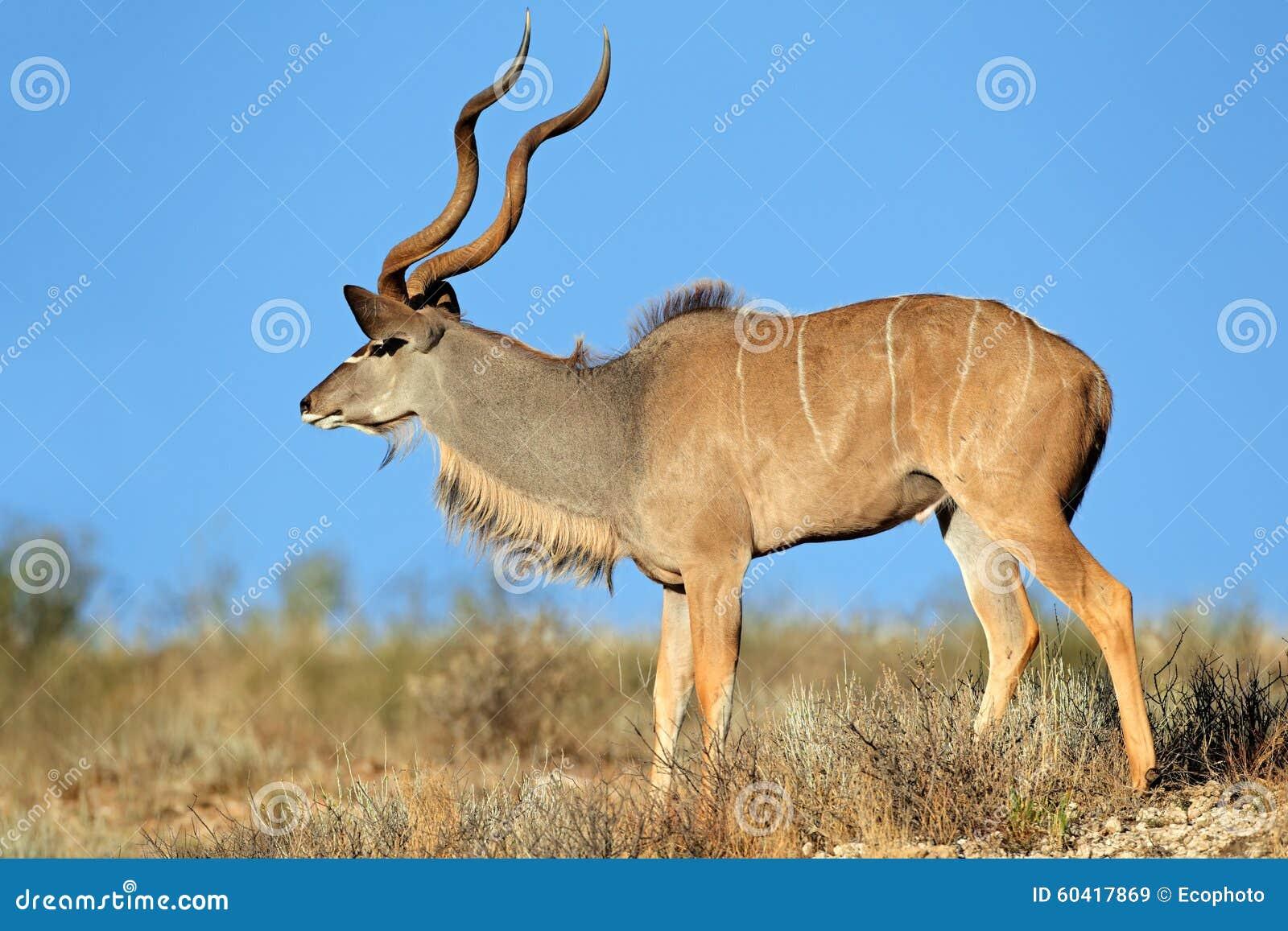 Kudu羚羊