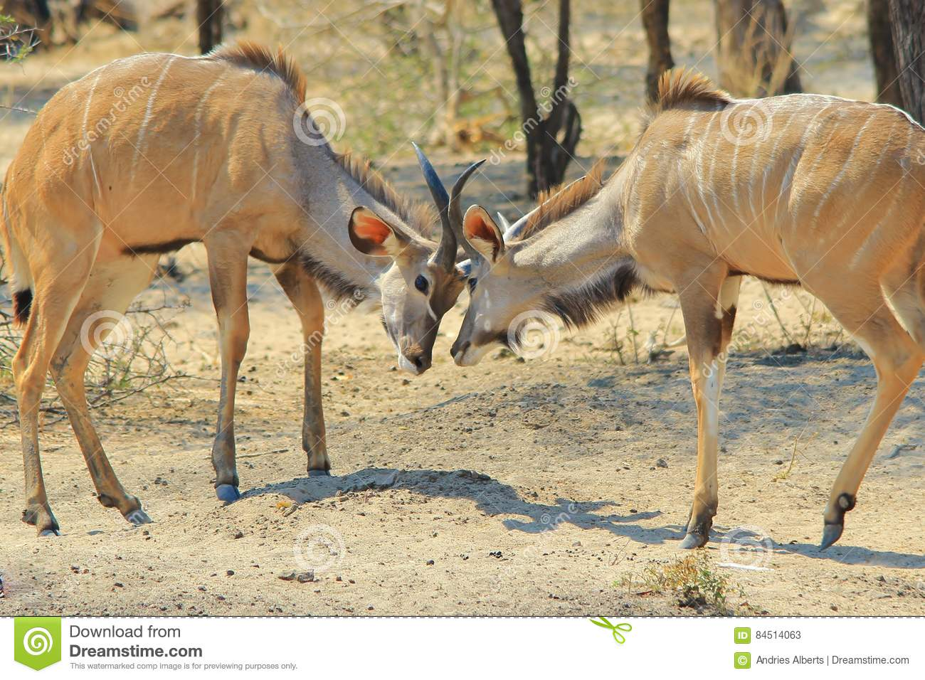 Kudu Antelope - African Wildlife Background - Fight for Dominance