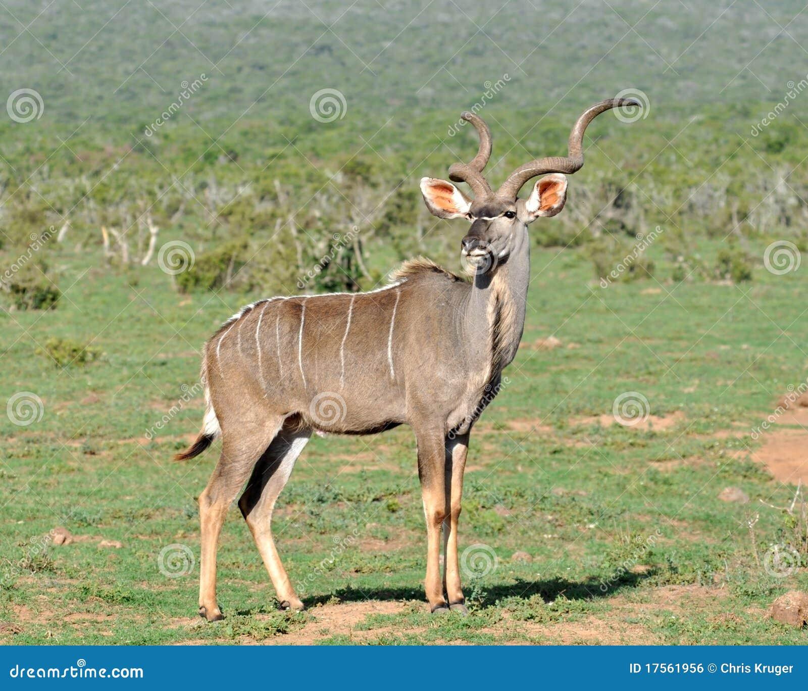 Kudu Antelope wild in ...