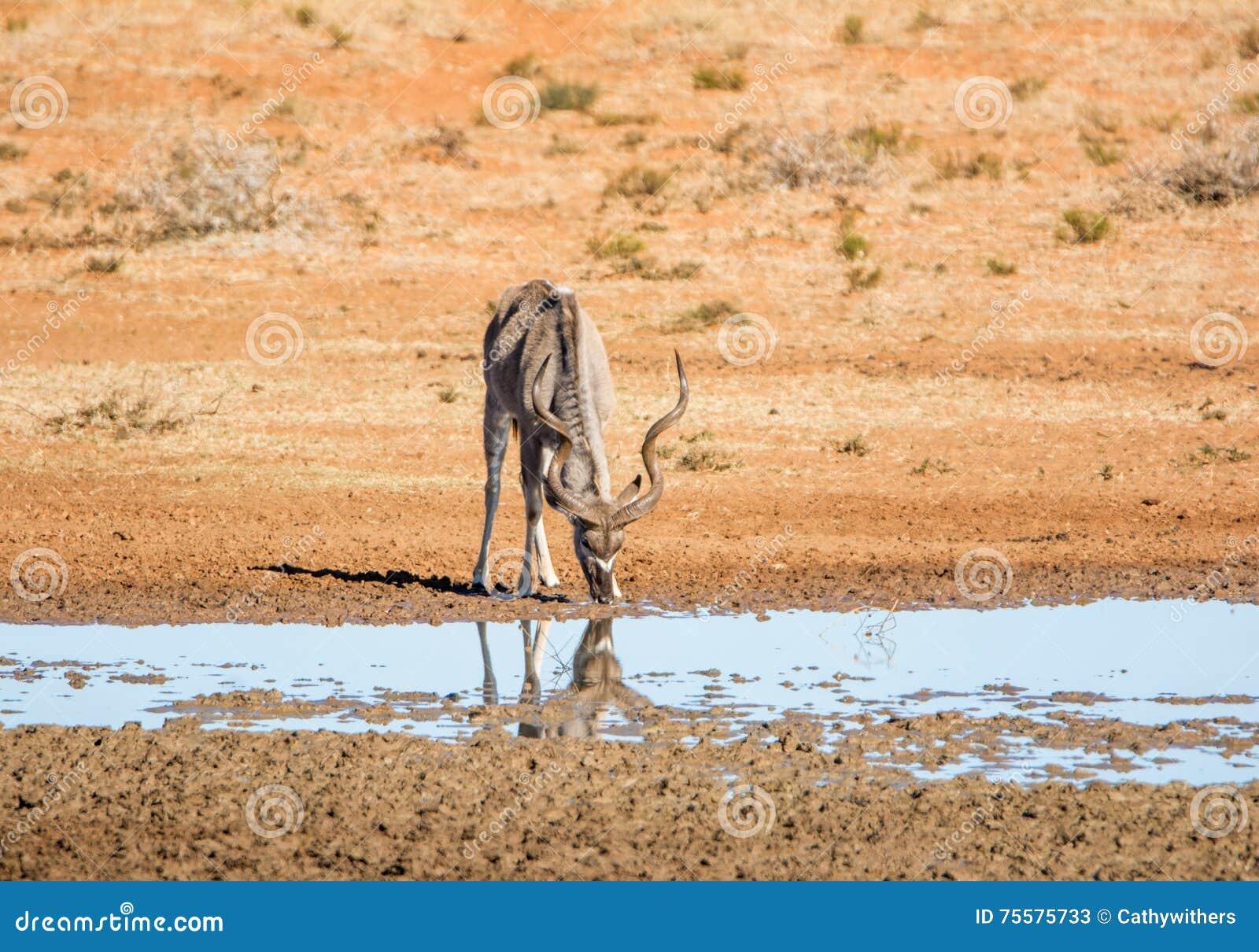 Kudu byk