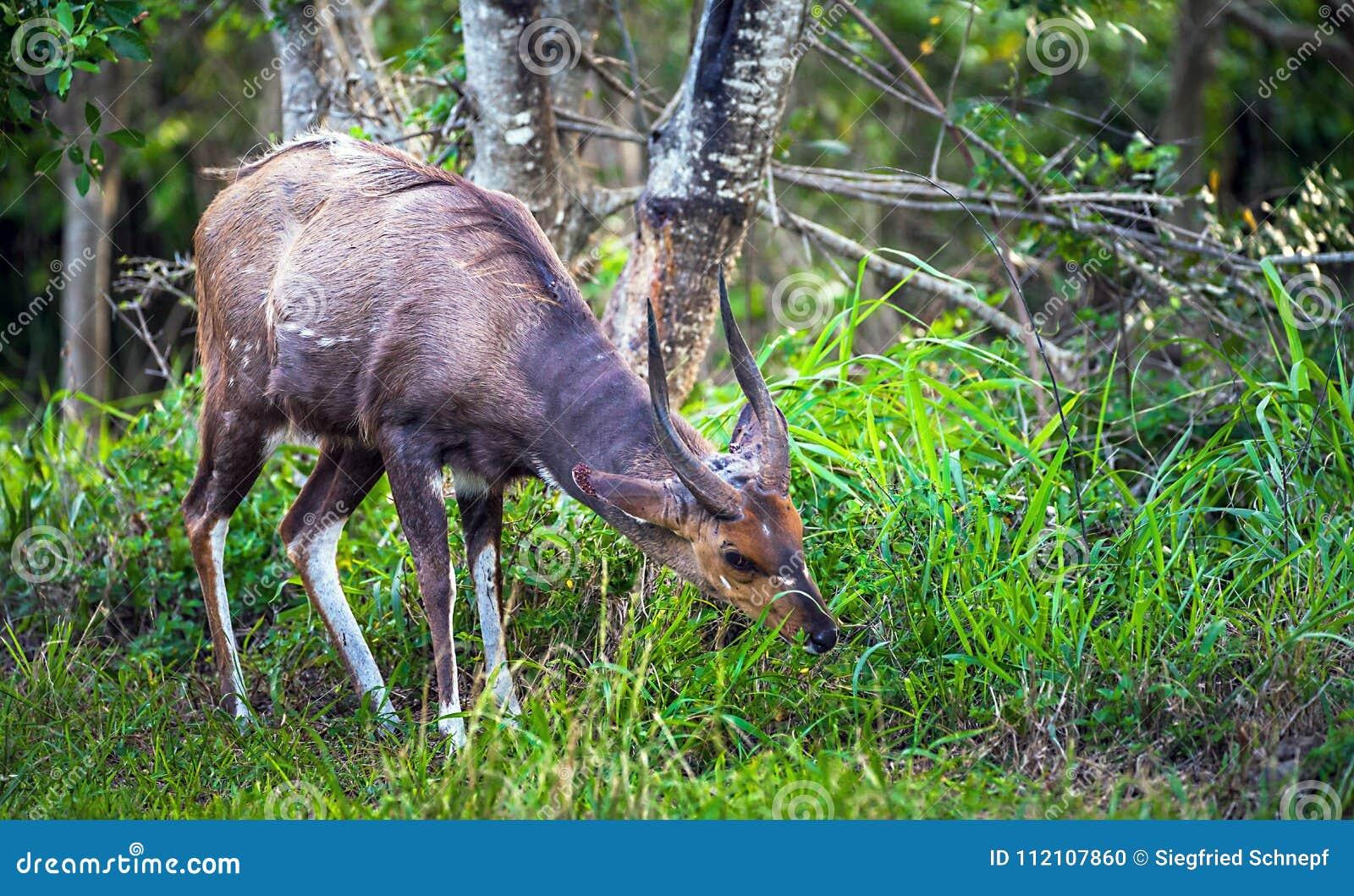 Kudu im iSimangaliso Sumpfgebiet-Park