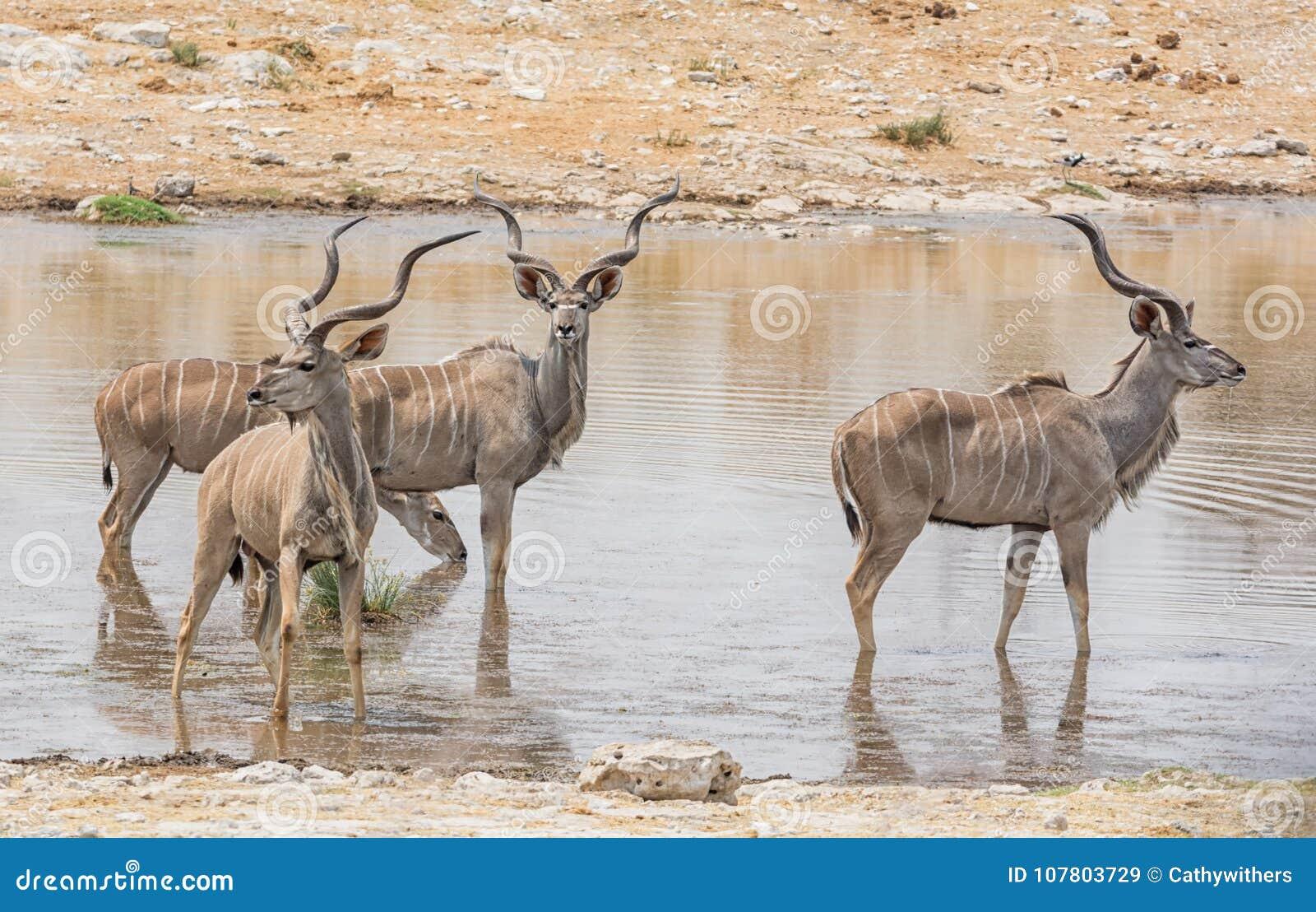 Kudu tjurar