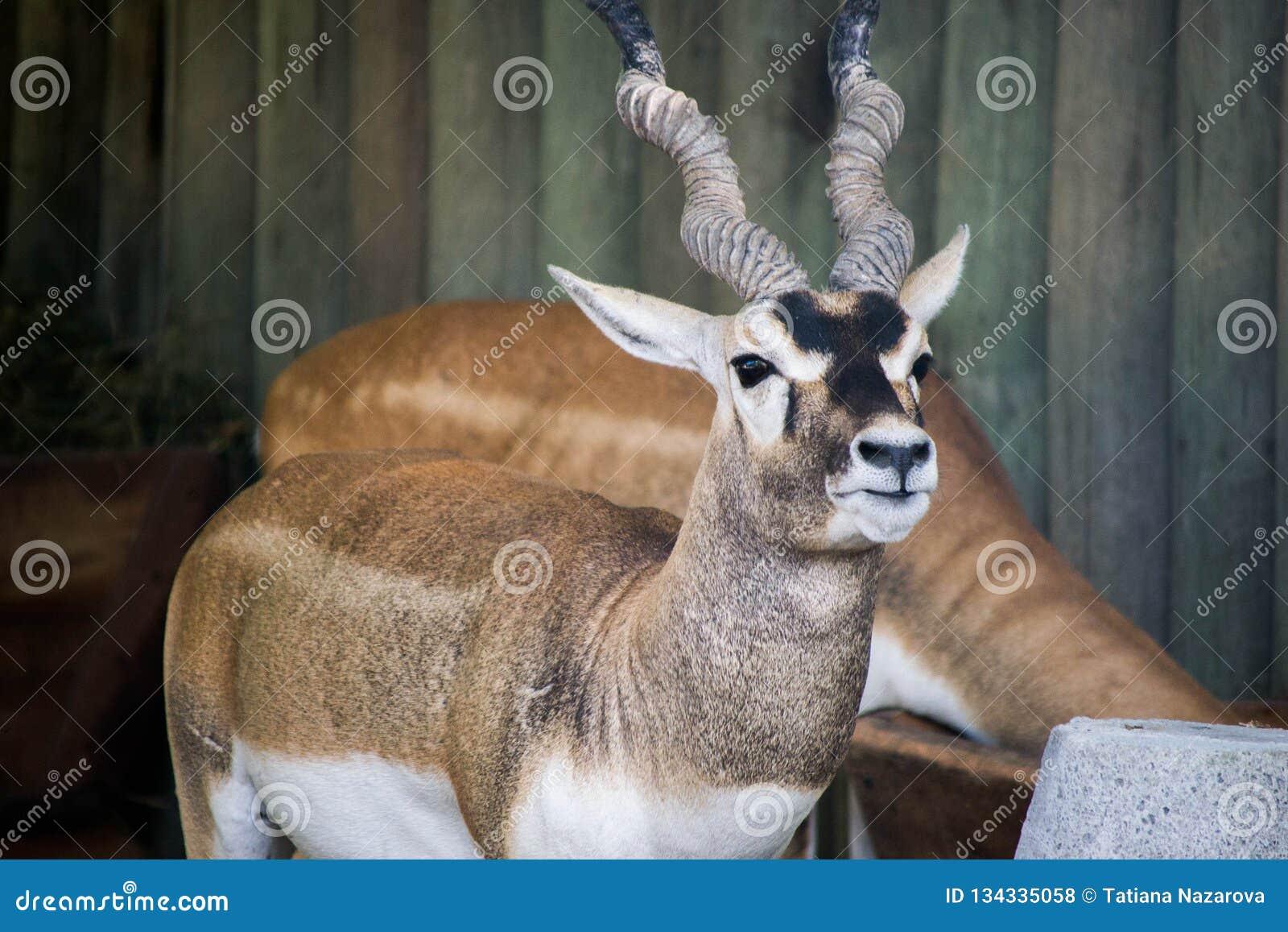 Kudu at the zoo