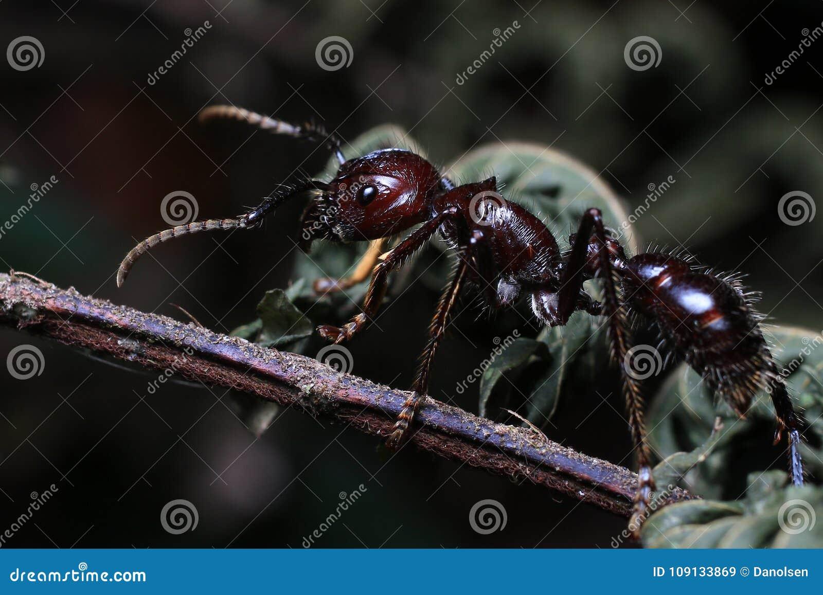 Kugel-Ameise, wirkliches Mörderinsekt mit extrem starkem Stich
