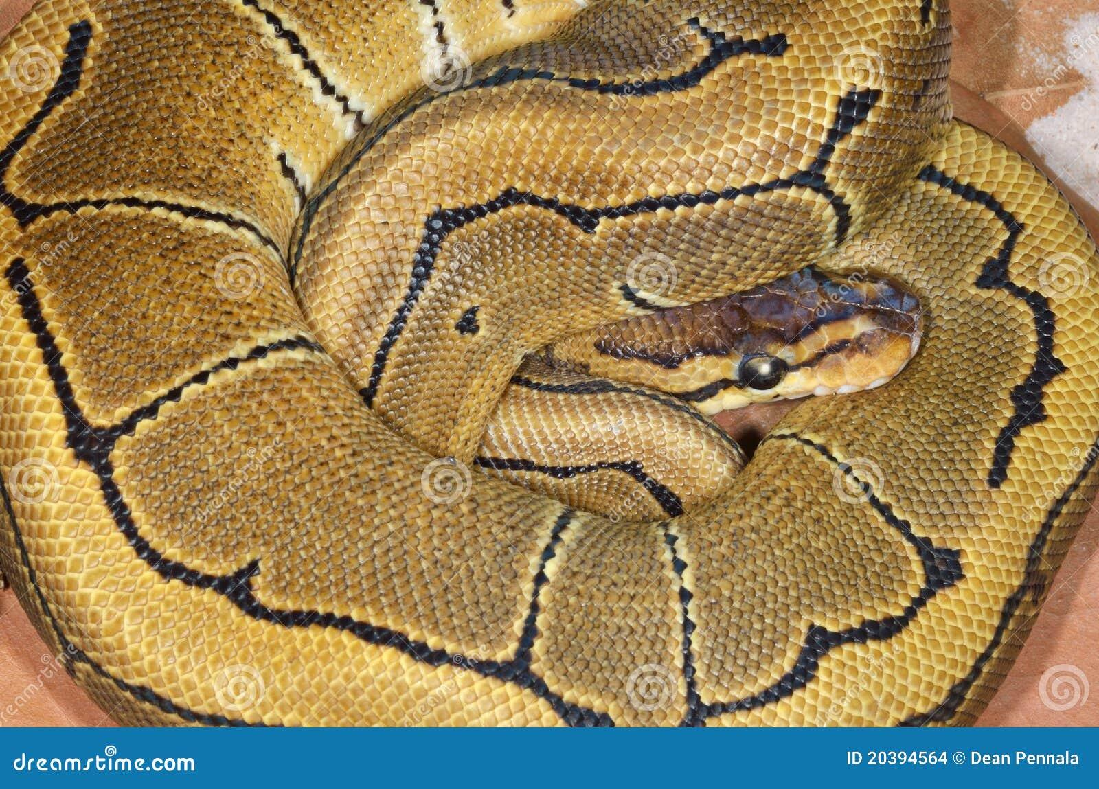 Kugel-Pythonschlange