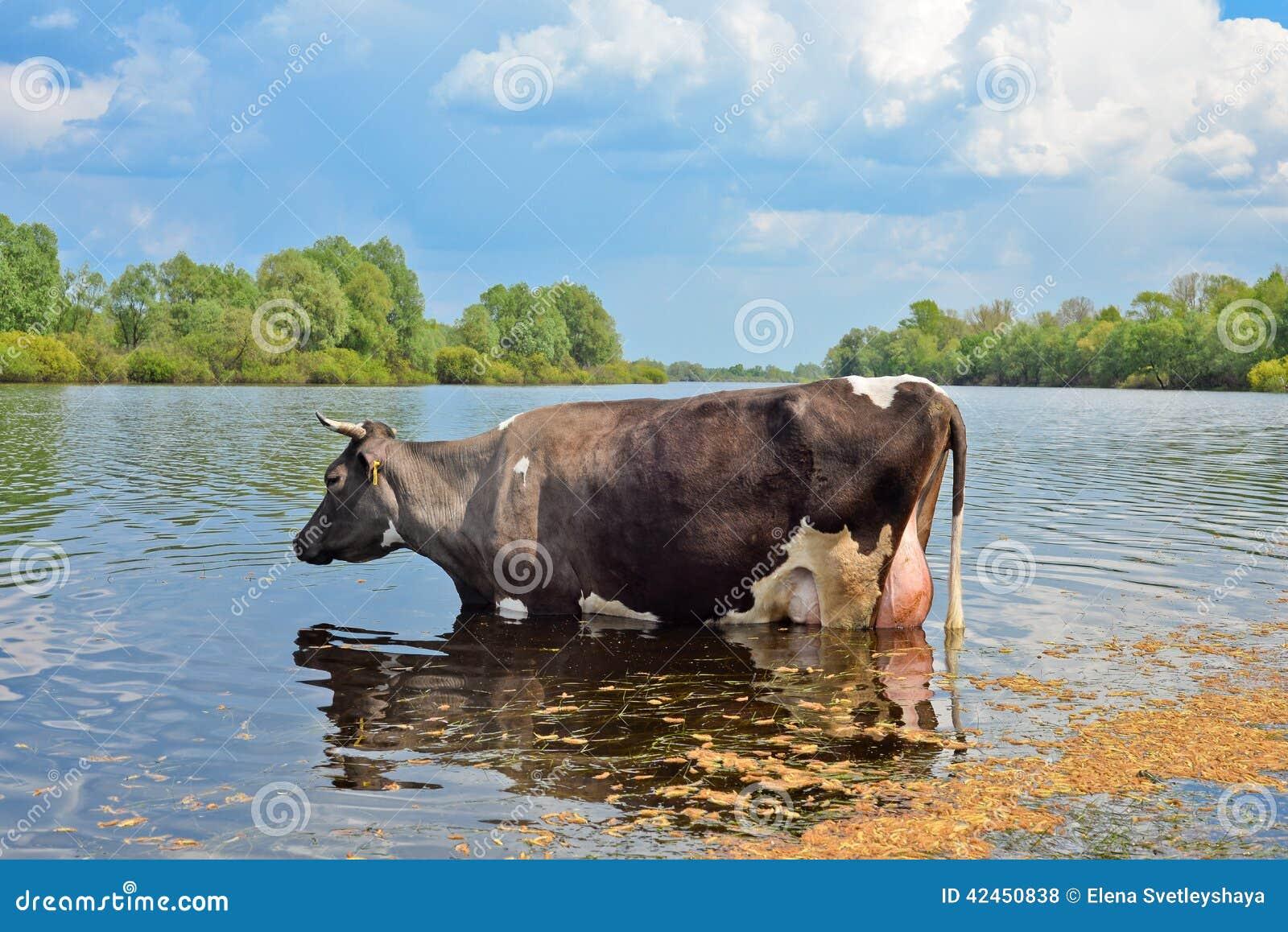 Kuh auf einer Wasserentnahmestelle