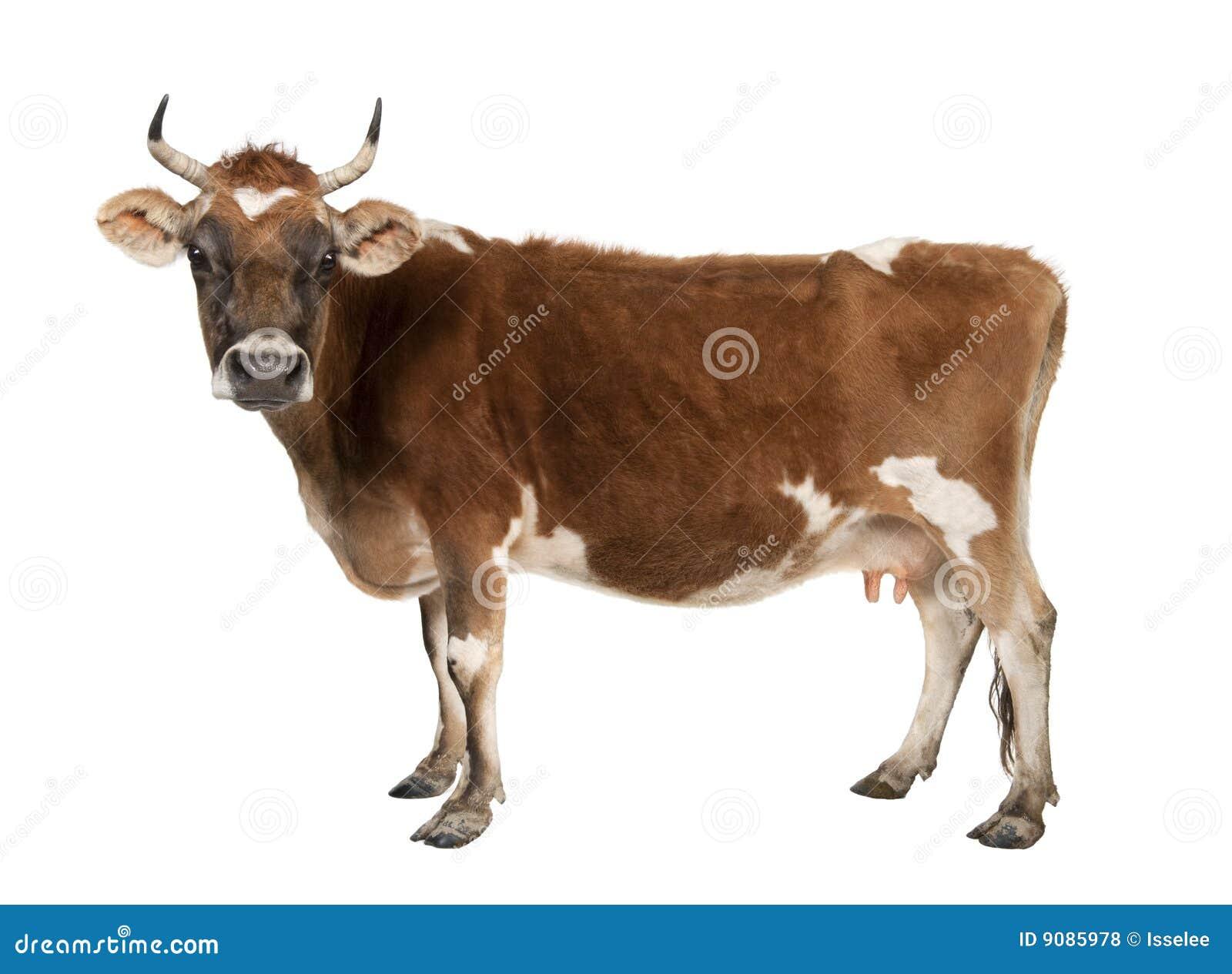 Kuh Brown-Jersey (10 Jahre alt)