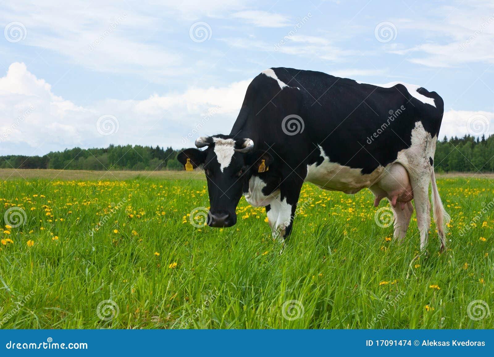Kuh in der Wiese