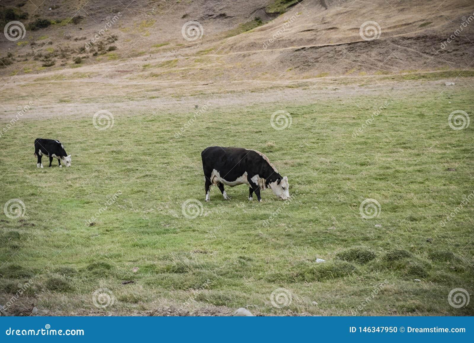 Kuh, die auf einem Bauernhof in der Landschaft weiden lässt