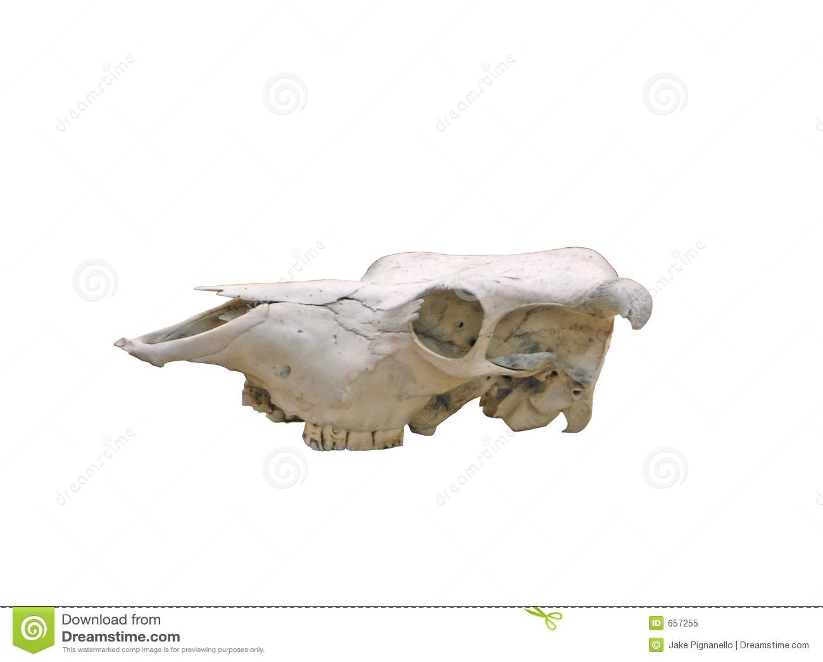 Kuh-Schädel mit Pfad stockbild. Bild von knochen, vieh - 657255