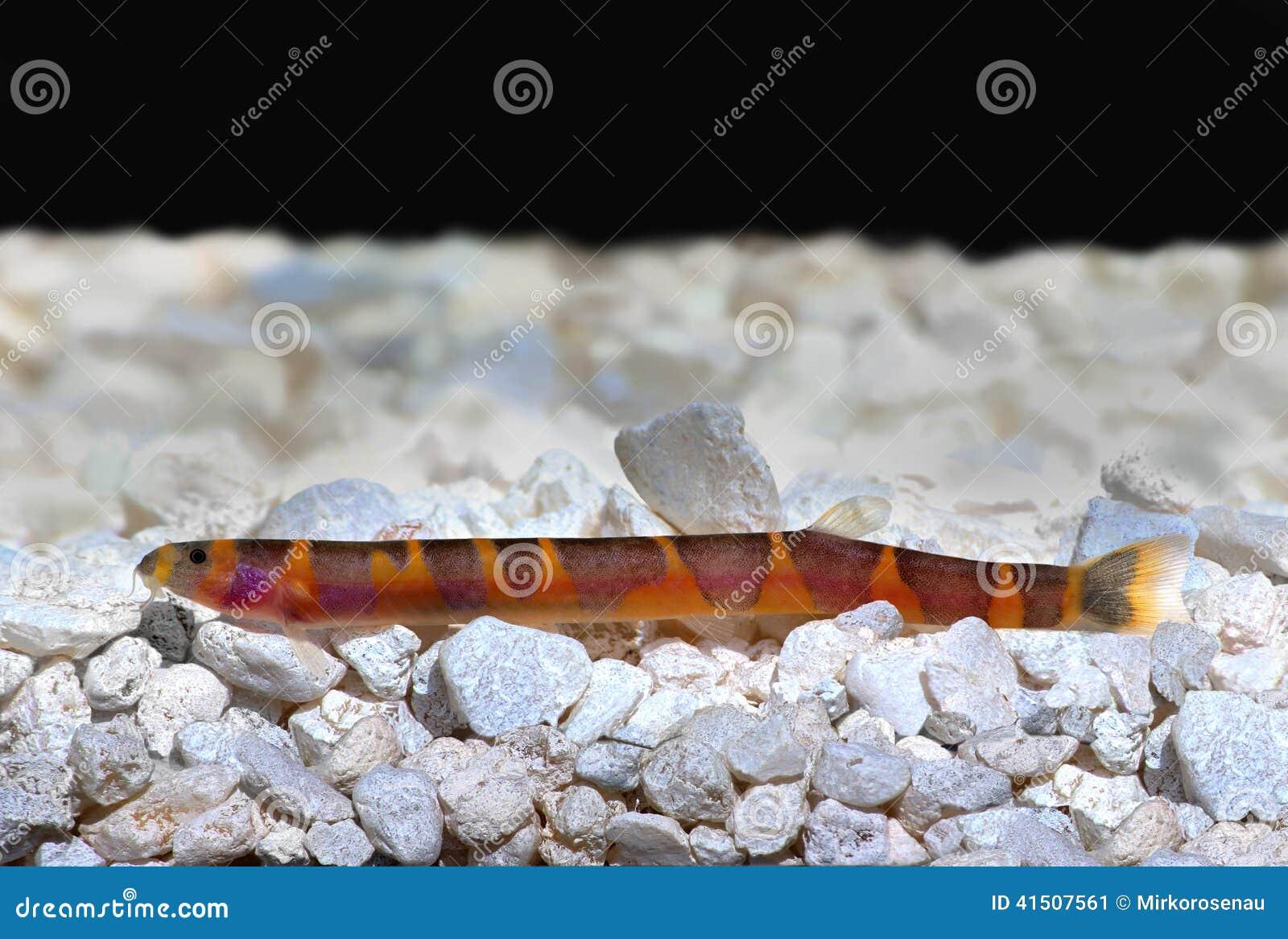 Freshwater aquarium fish loach -  Freshwater Aquarium Fish Kuhli Loach Catfish Pangio Kuhlii Stock Image