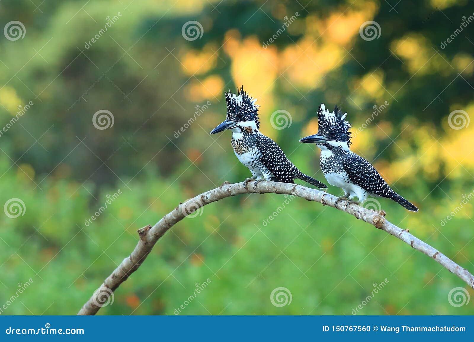 Kuif Ijsvogel