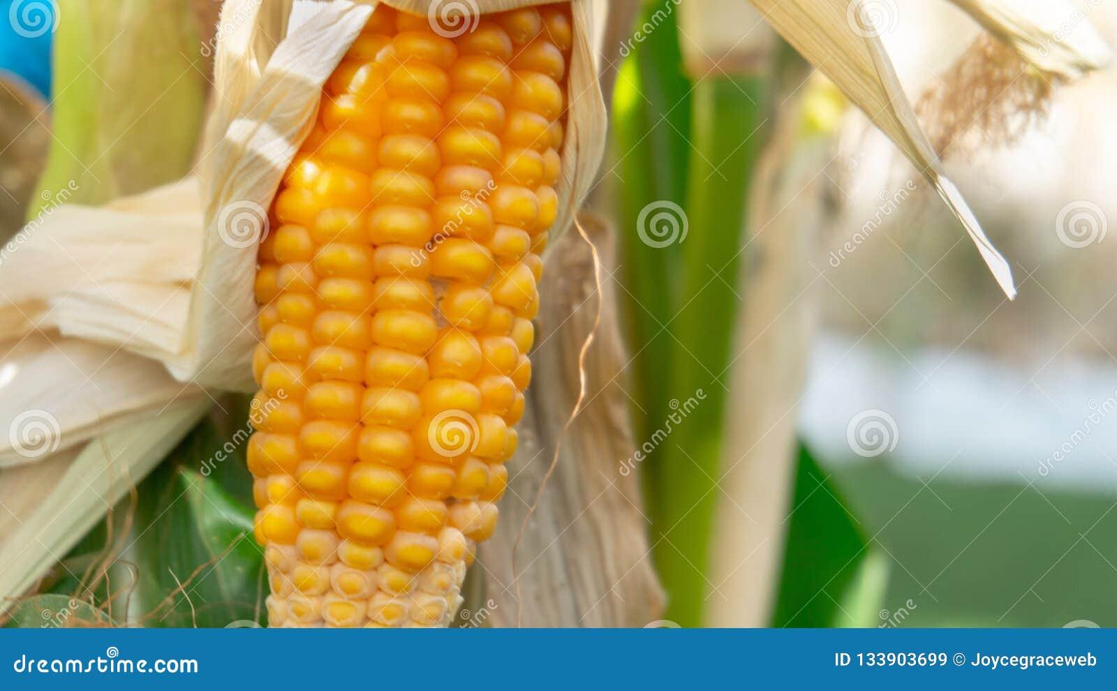Kukurudza na badyla zbliżeniu