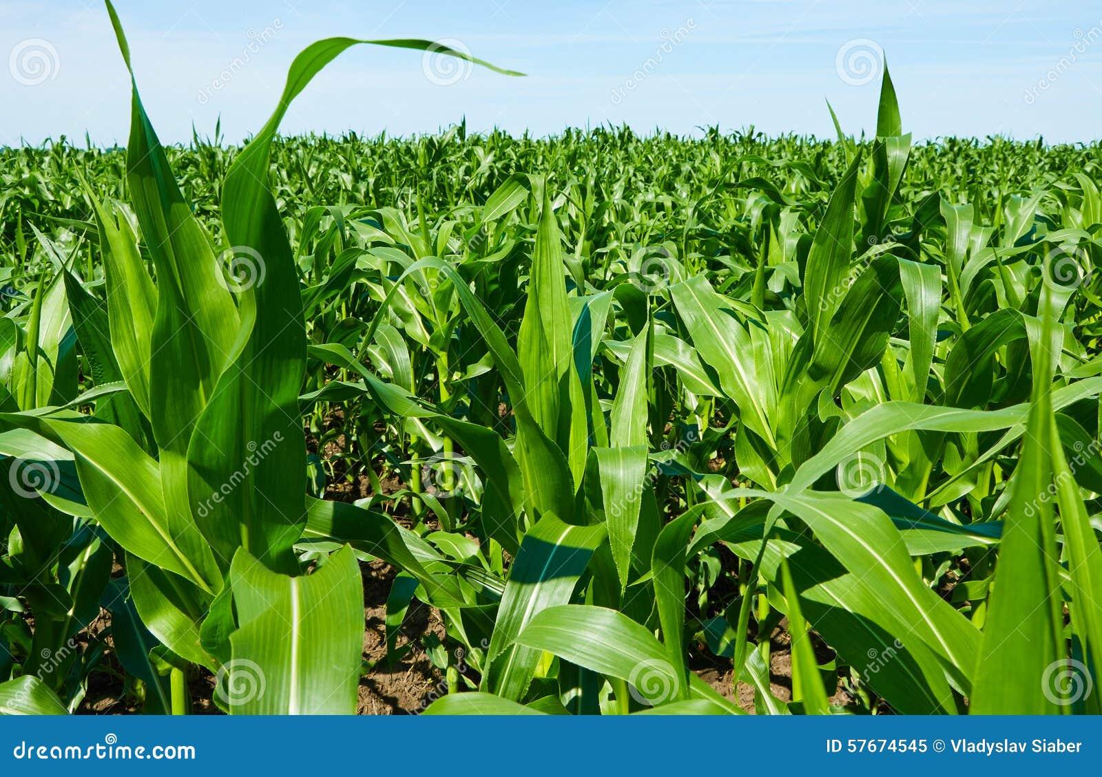 Kukurydzanego pola zieleń