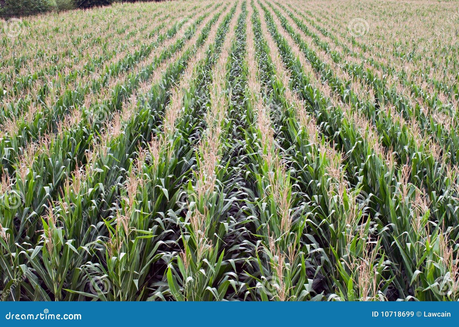 Kukurydzani rzędy