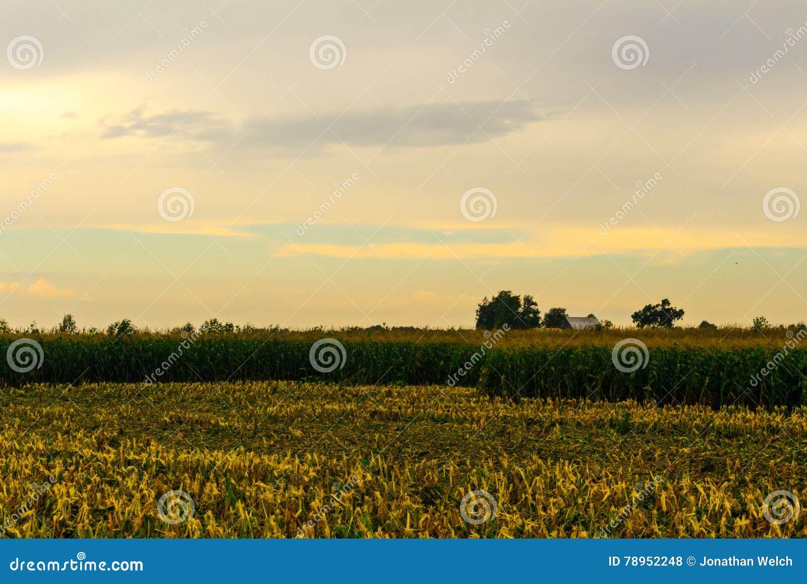 Kukurydzany żniwo Zaczynał