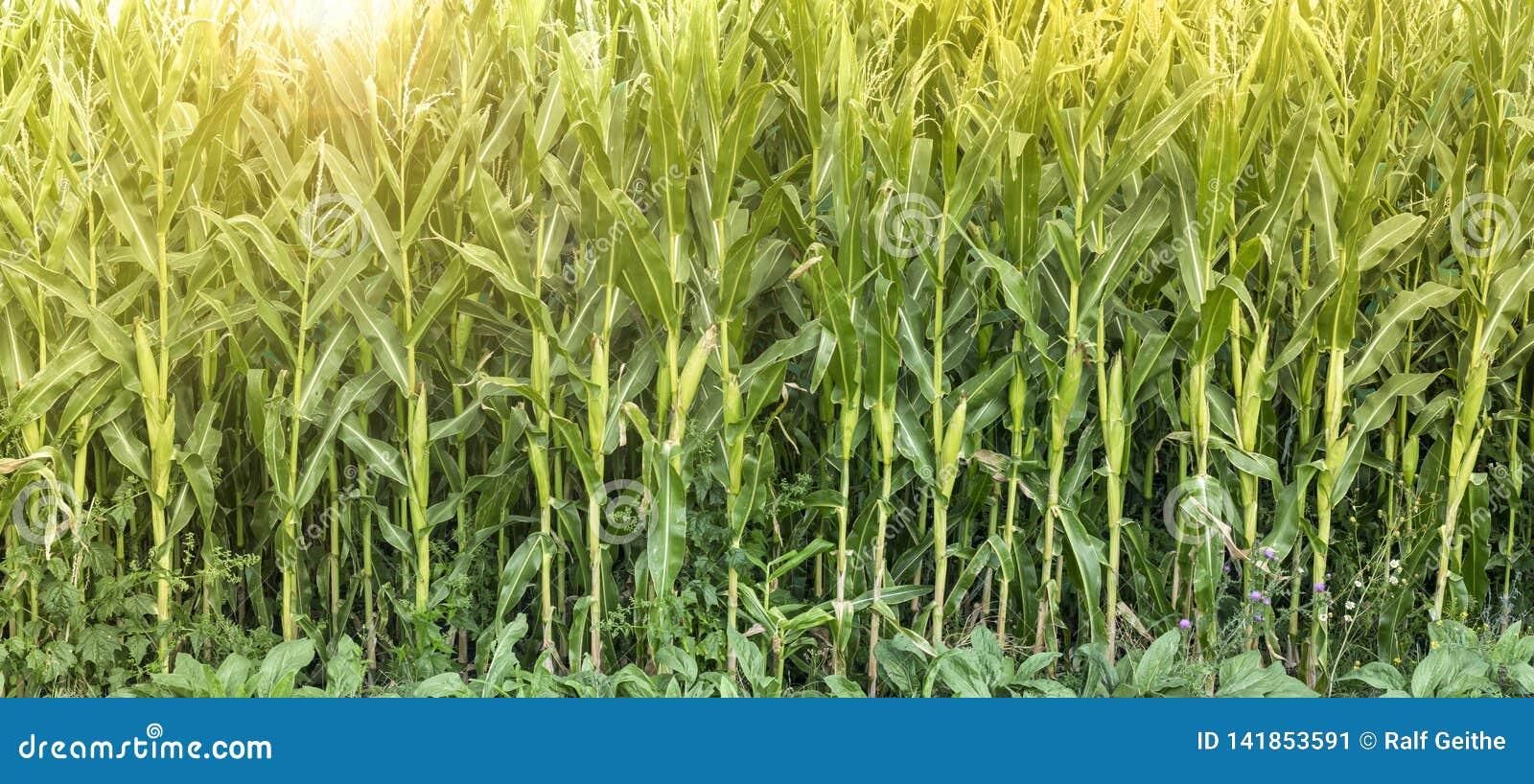 Kukurydzany pole dojrzewa w słońcu