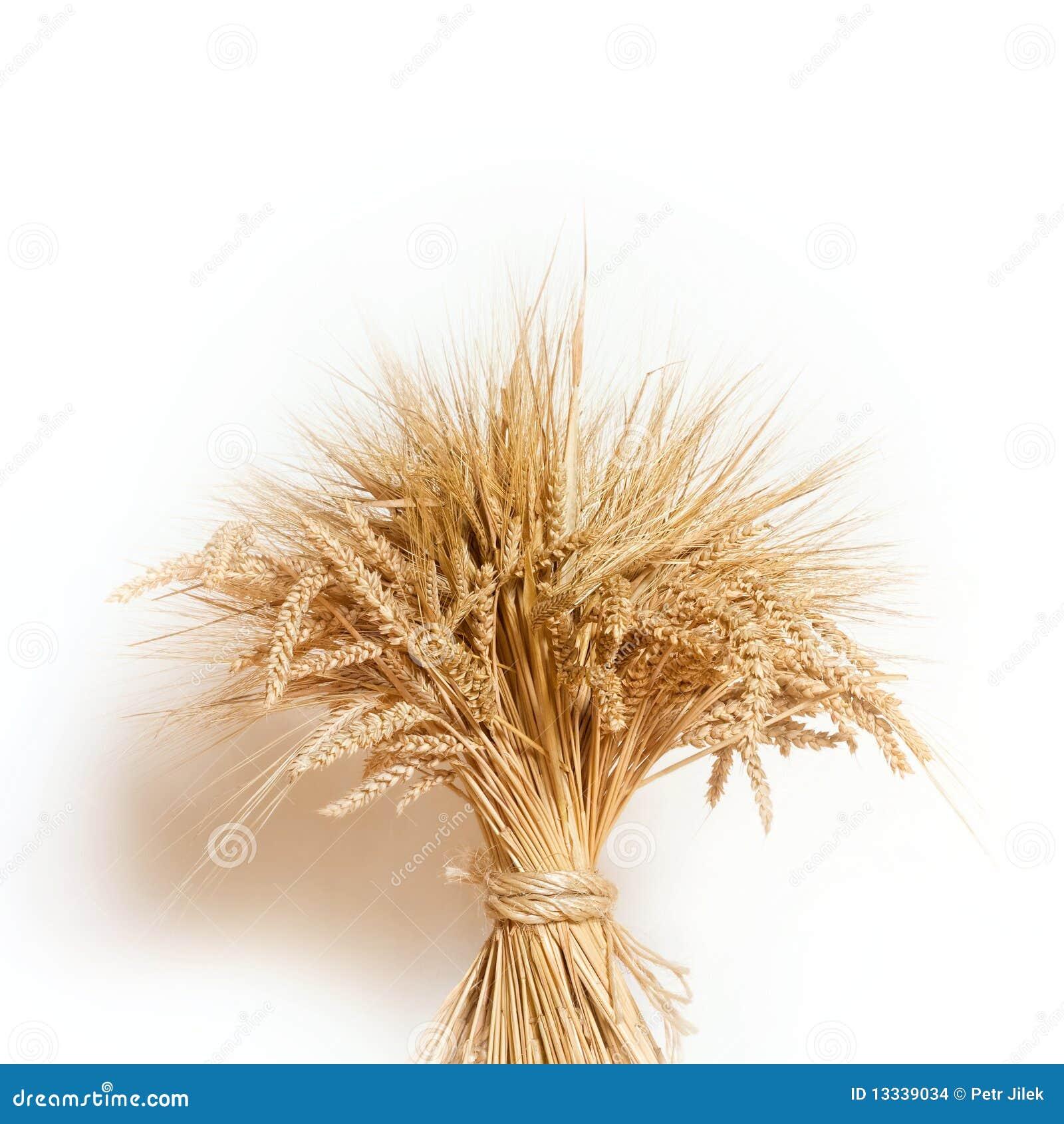 Kukurydzany tło biel