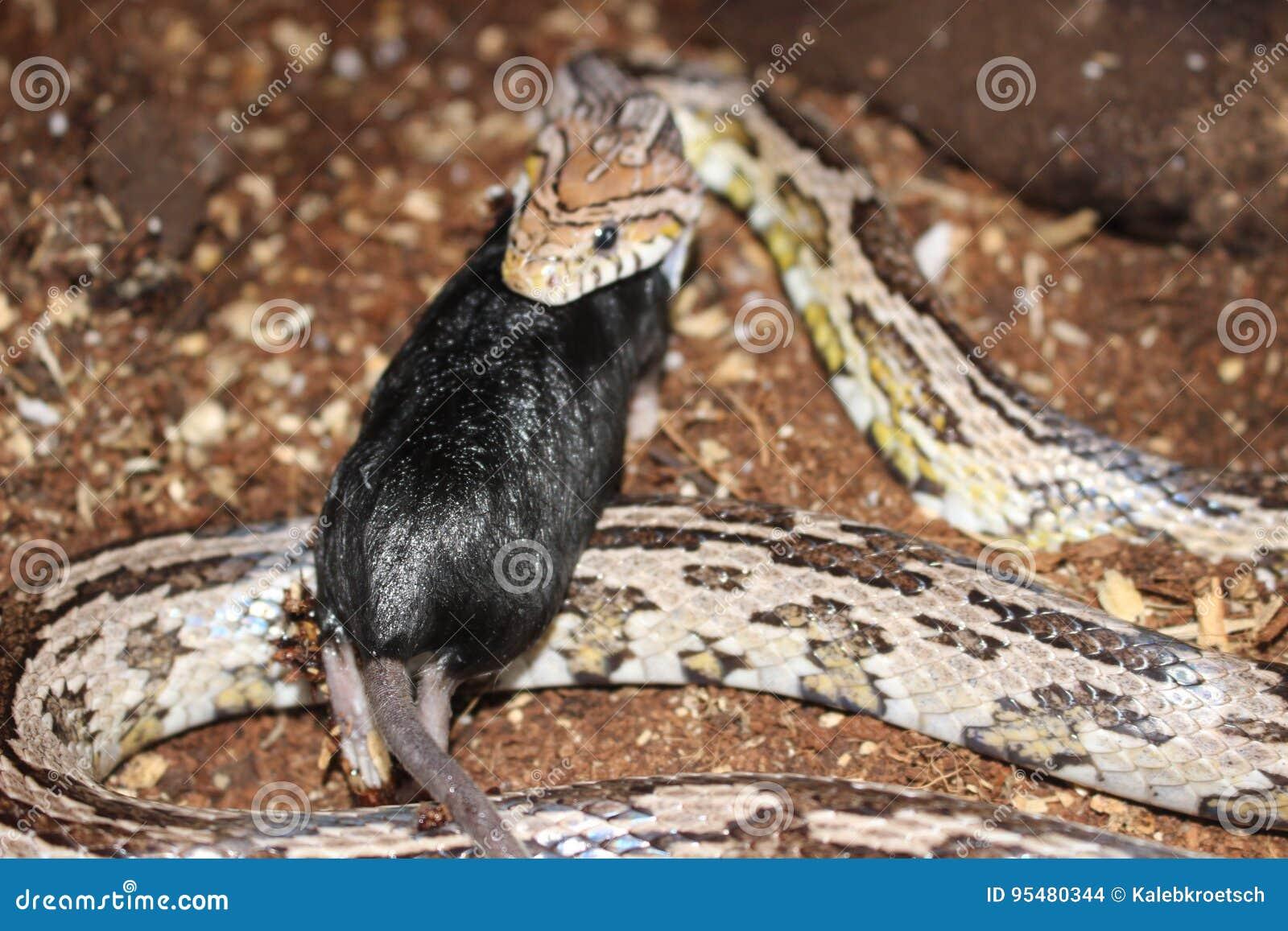 Kukurydzany wąż Łyka Czarnej myszy