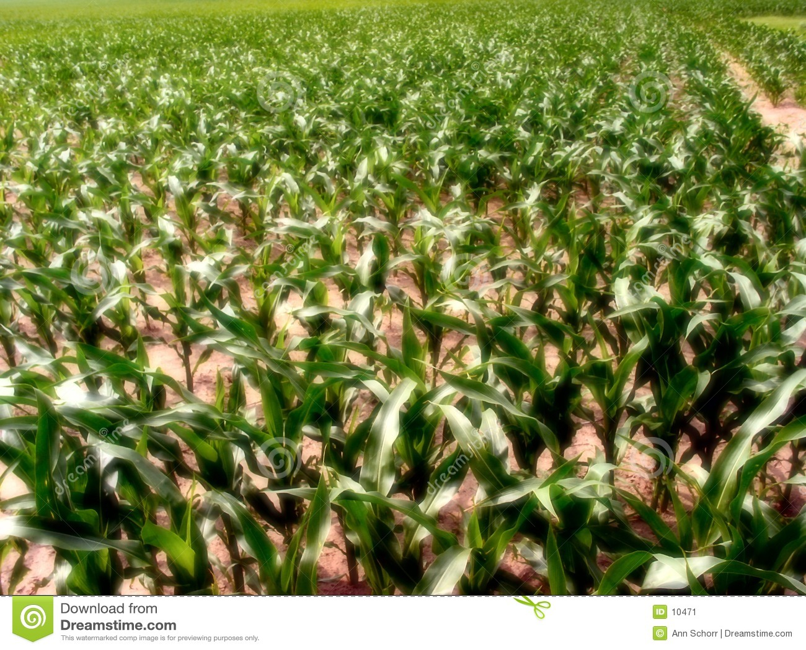 Kukurydziany 1 Illinois