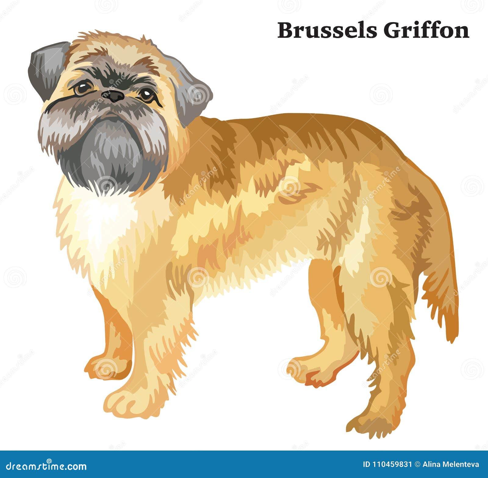 Kulör dekorativ stående stående av den Bryssel Griffon vektorn