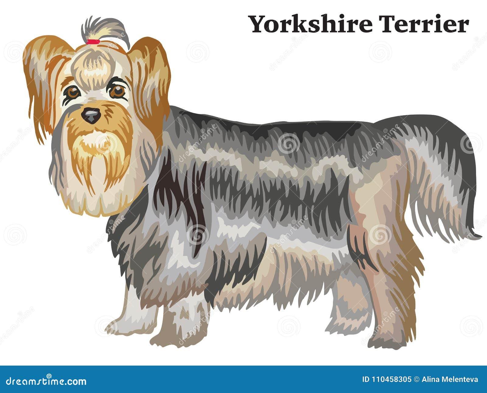 Kulör dekorativ stående stående av den Yorkshire Terrier vektorn