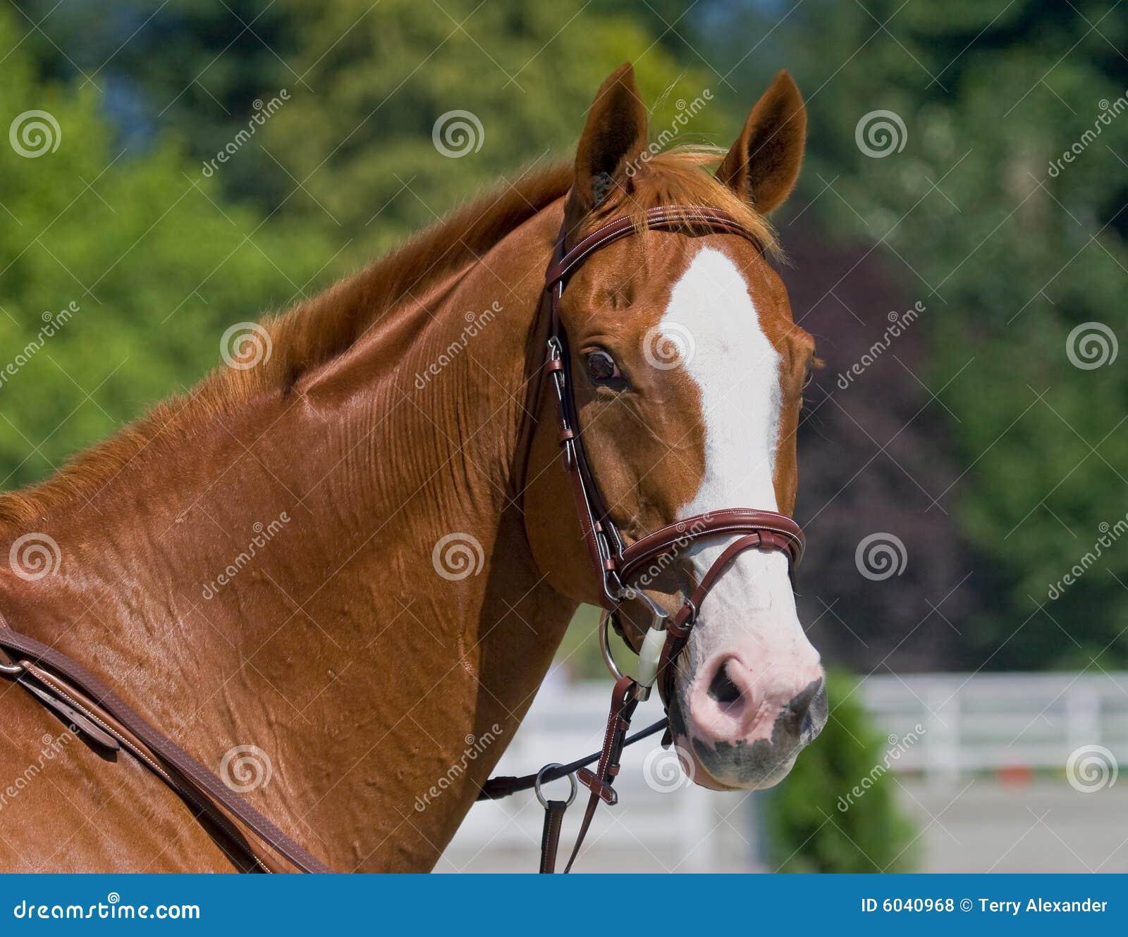 Kulör häst för kastanj