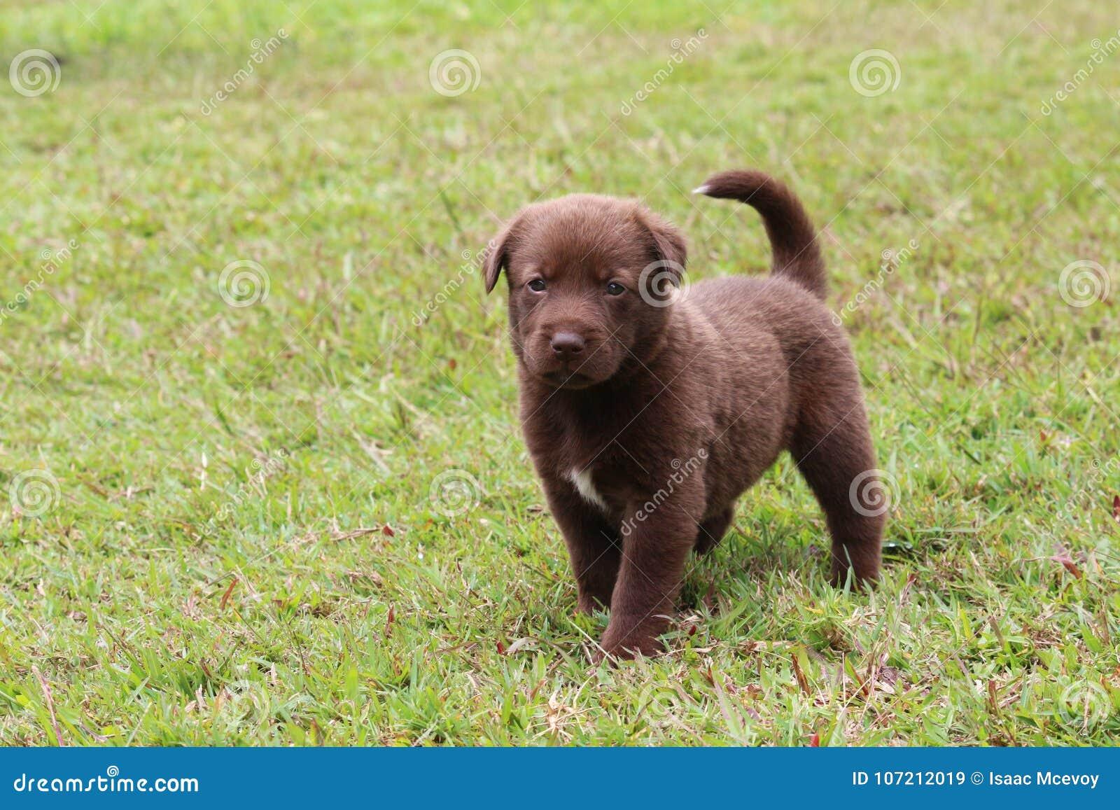 Kulör valp för labradorblandningchoklad