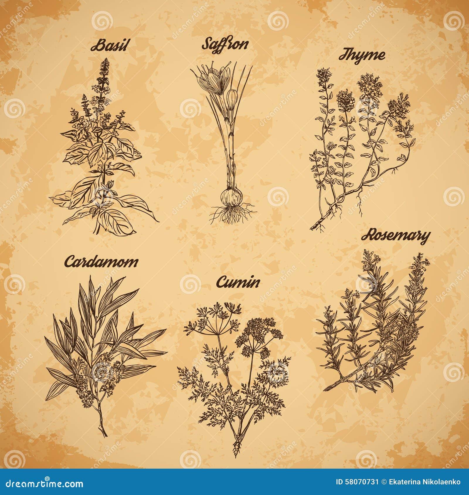 Kulinarni ziele i pikantność Rozmaryny, macierzanka, kardamon, szafran, basil, kmin Retro ręka rysująca wektorowa ilustracja