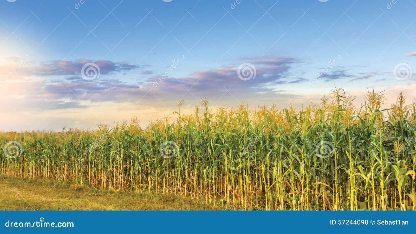 Kull för fält för bakgrundshavreafton