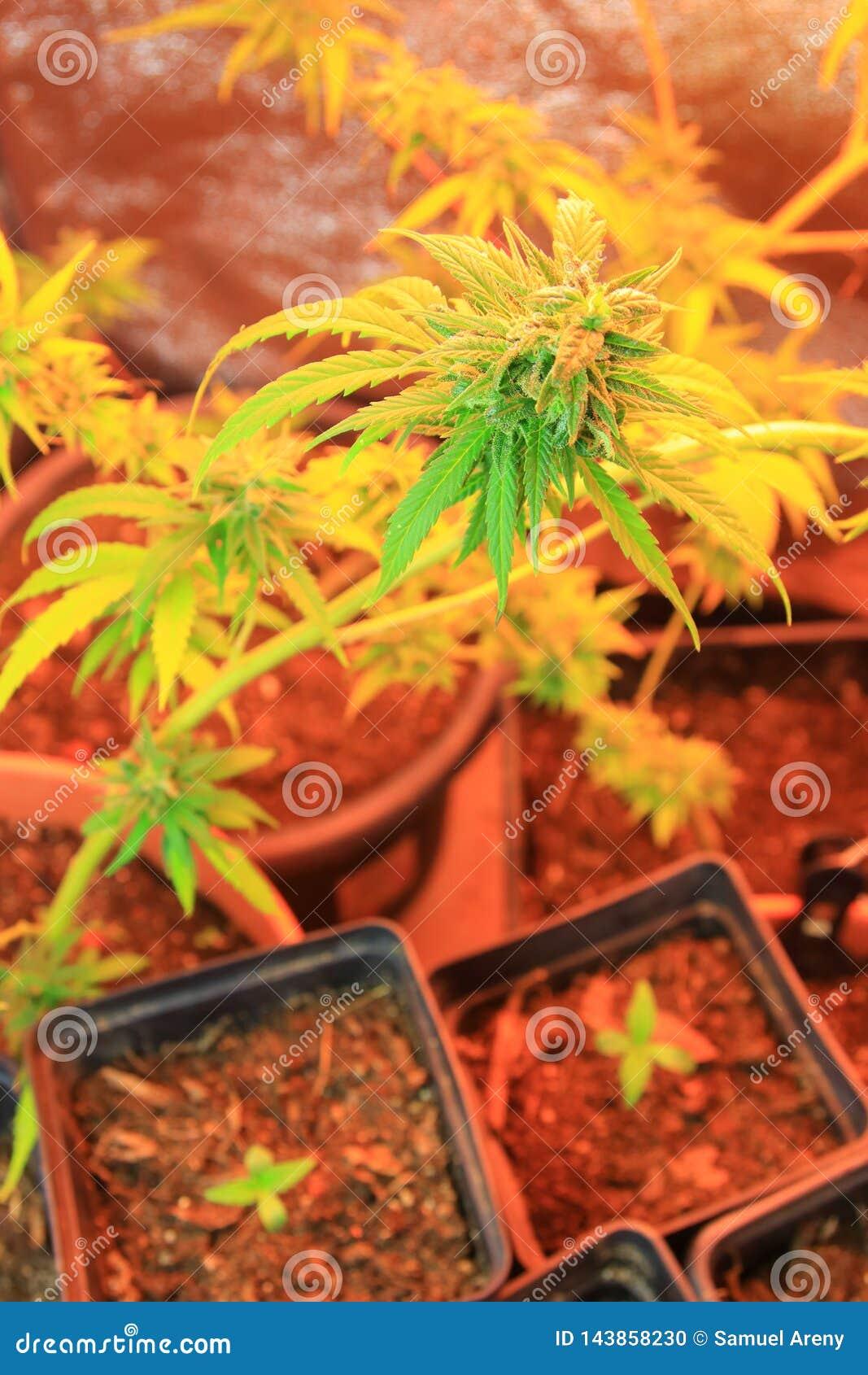 Kultur av cannabisblommor i en ask