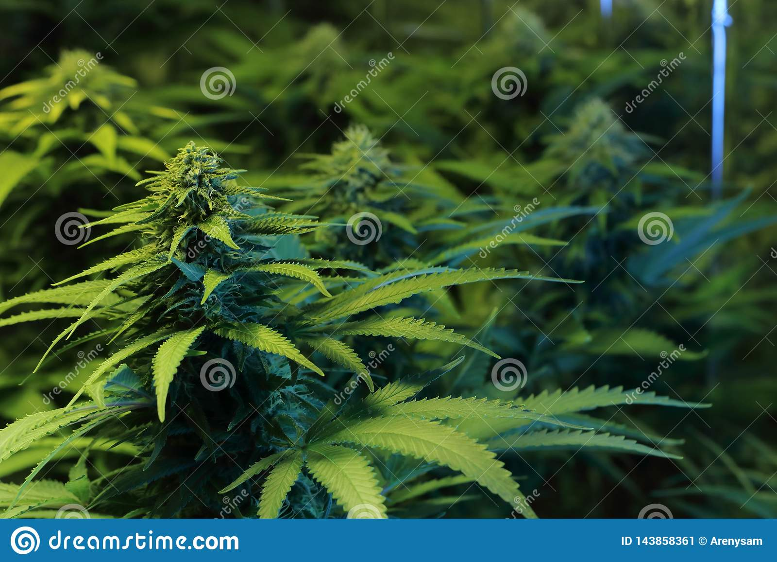 Kultur av cannabisinflorescencen i en kulturask