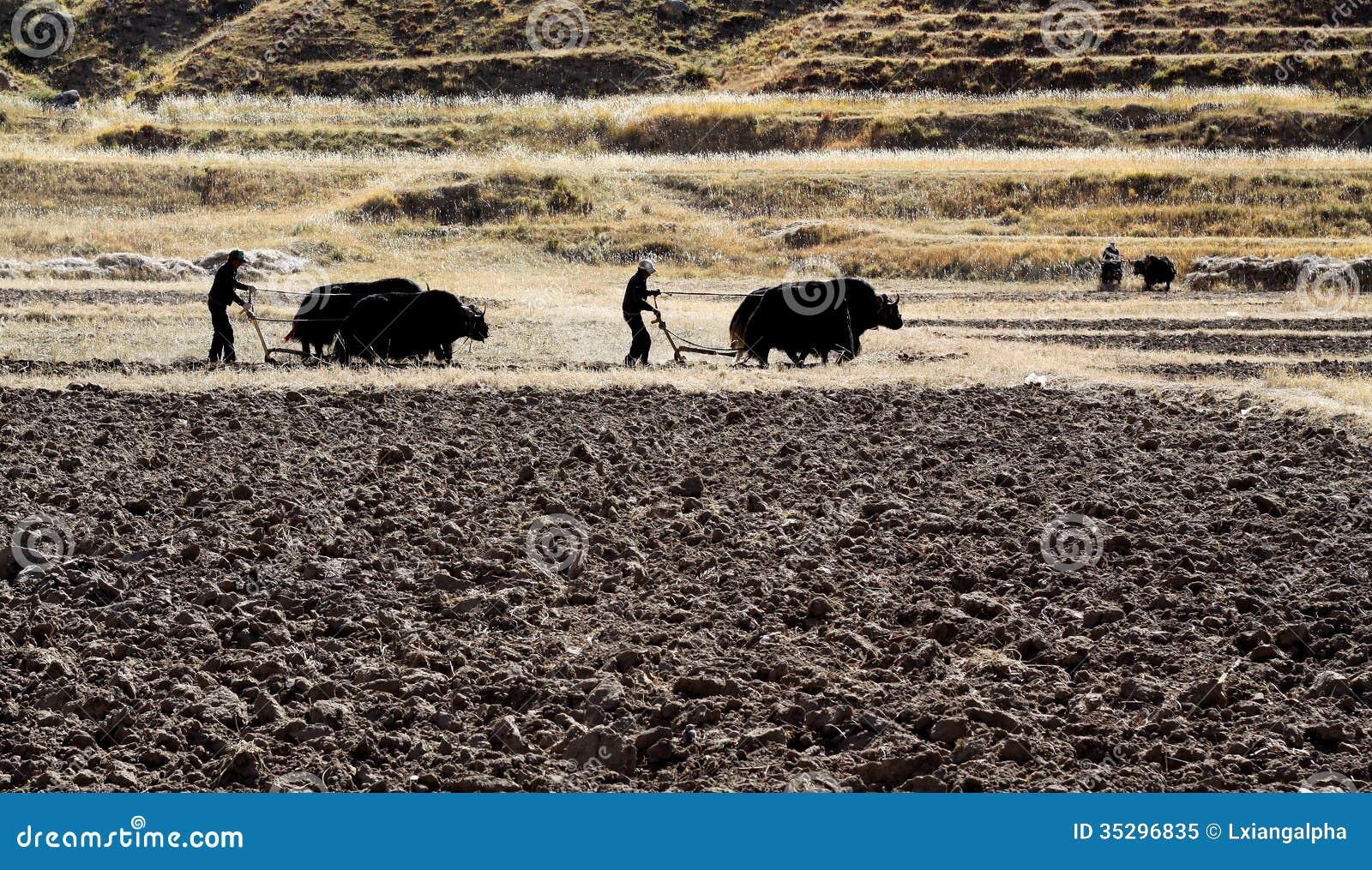 Kultywacja w polu