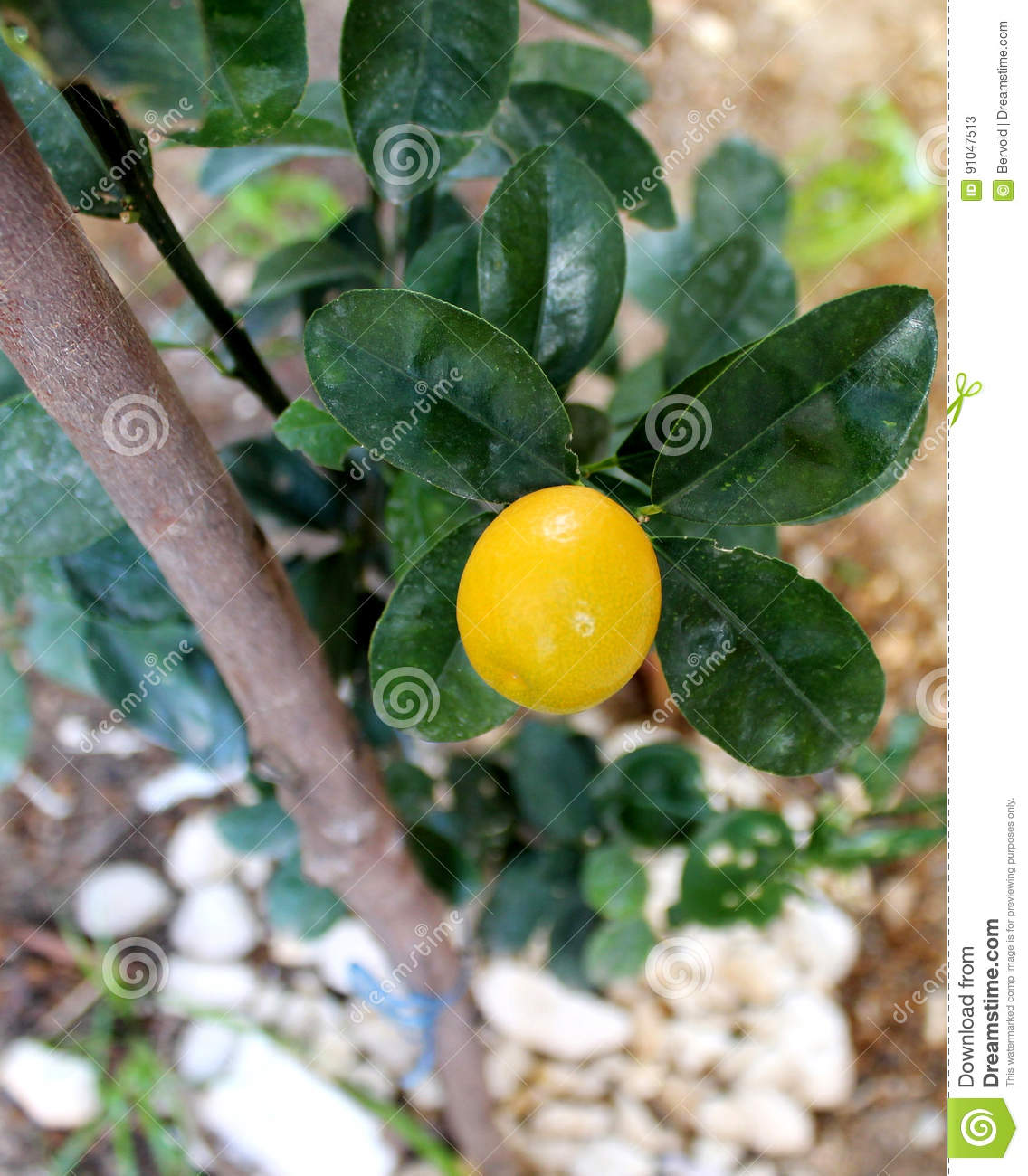 kumquat fruit ripe on a tree stock image image of citrus sweet